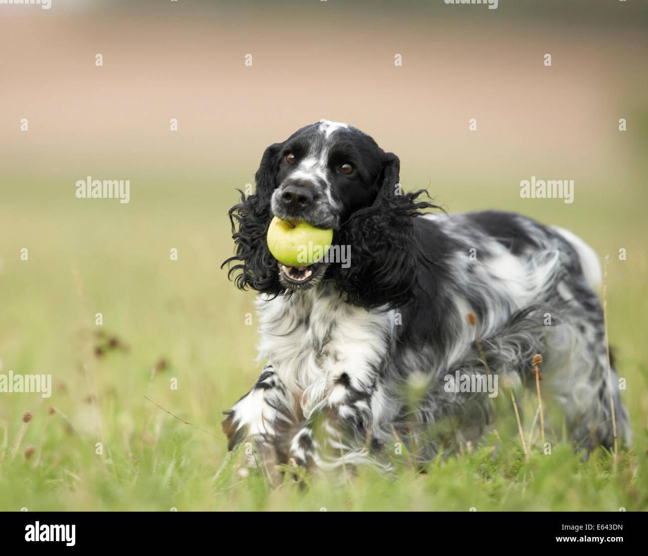 english cocker spaniel adult blackandwhite running on a