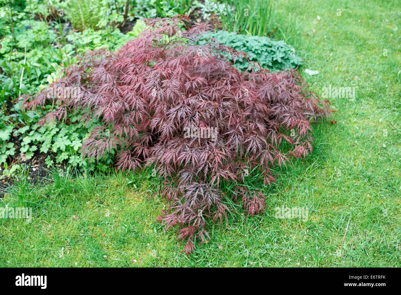 acer palmatum dissectum garnet japanese maple in spring stock photo 73074727 alamy. Black Bedroom Furniture Sets. Home Design Ideas