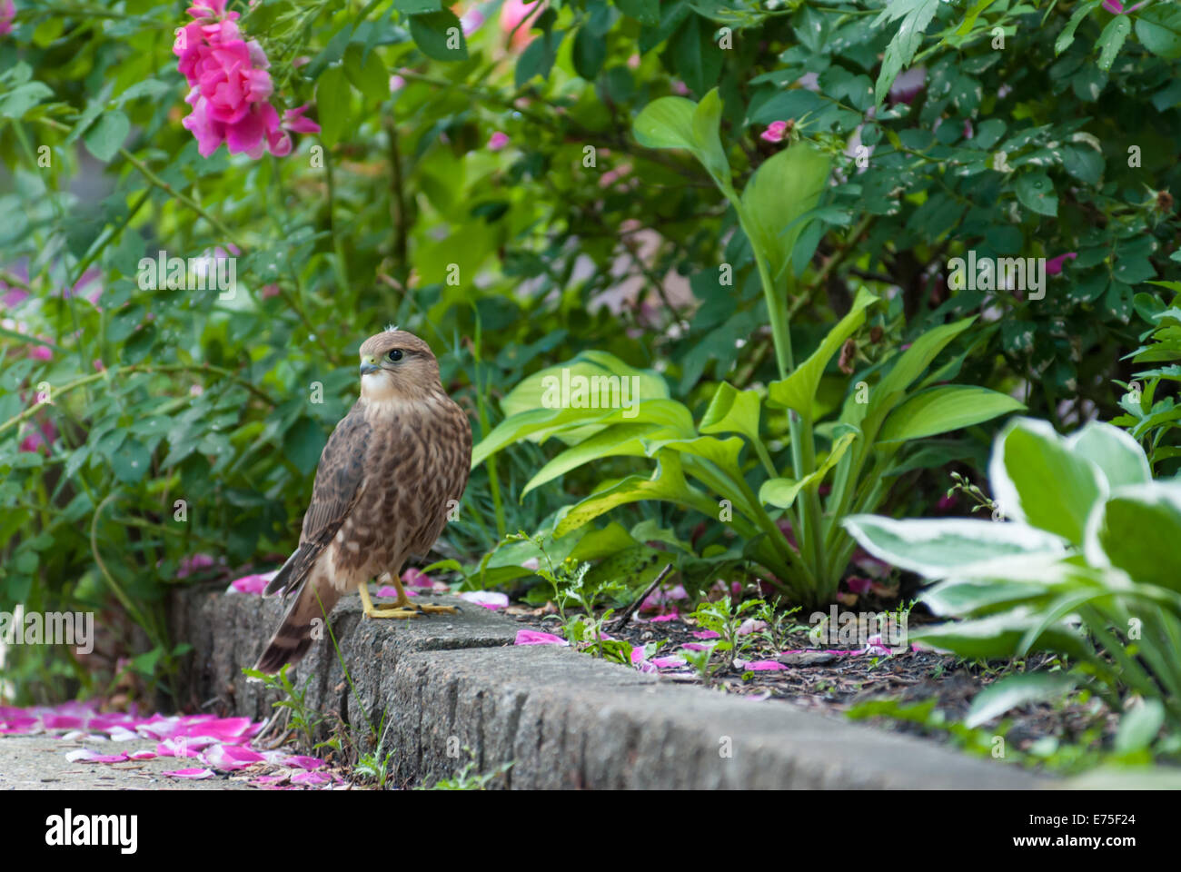 a-merlin-falco-columbarius-standing-on-a