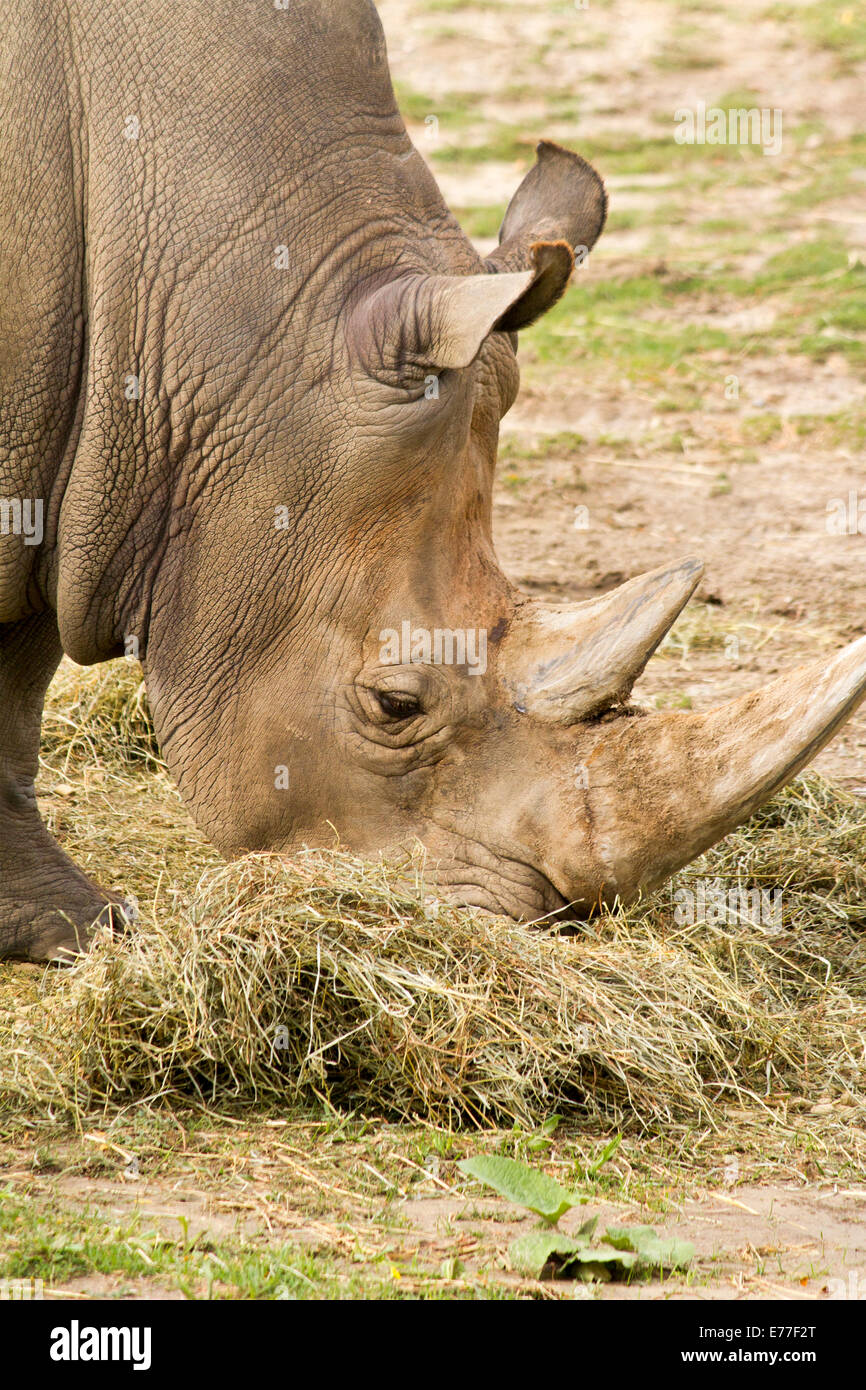 endangered-white-rhinoceros-eating-hay-a