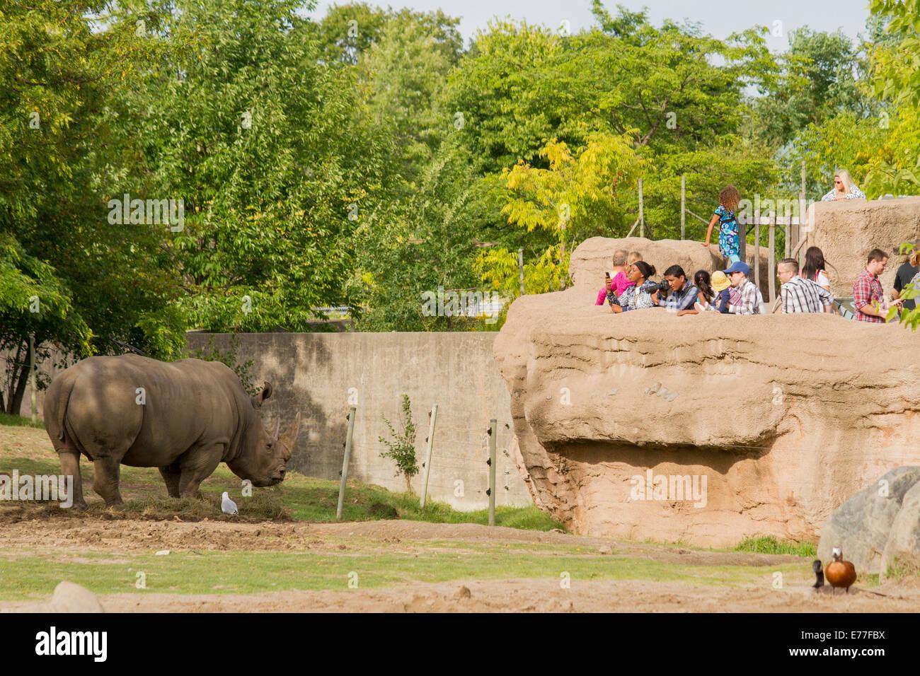 endangered-white-rhinoceros-eating-hay-a