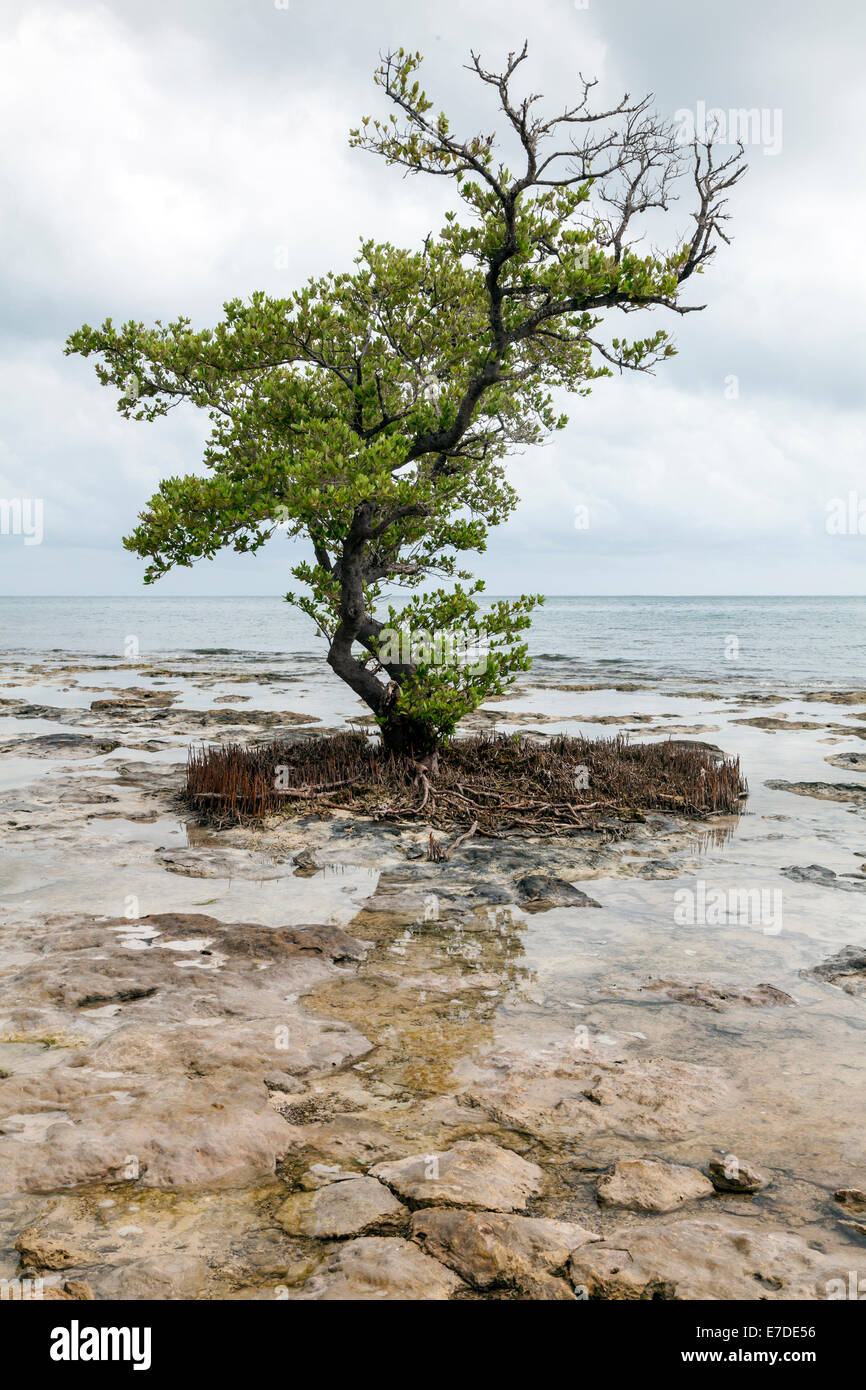 a-single-mangrove-tree-clings-to-coral-r