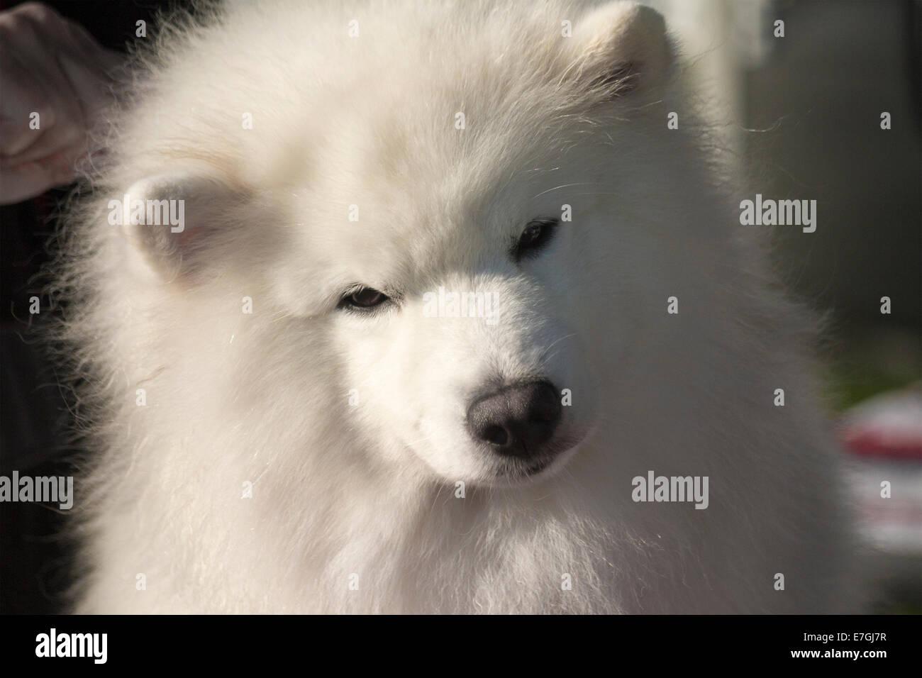 close-up-of-samoyed-dog-being-prepared-f
