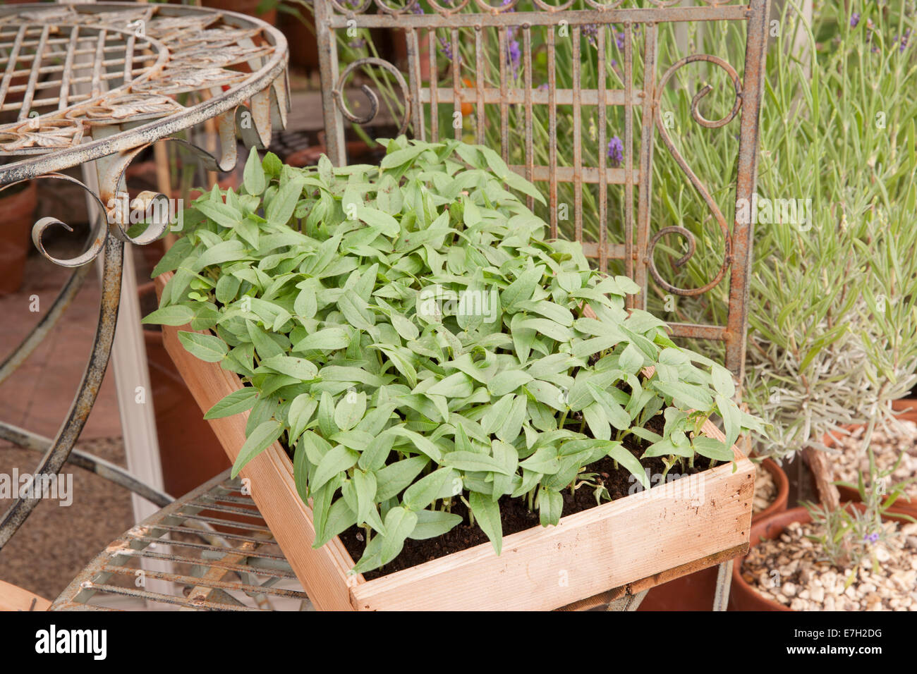 Sprouting mung bean grown for micro greens veg salad cut and come again Stock Photo