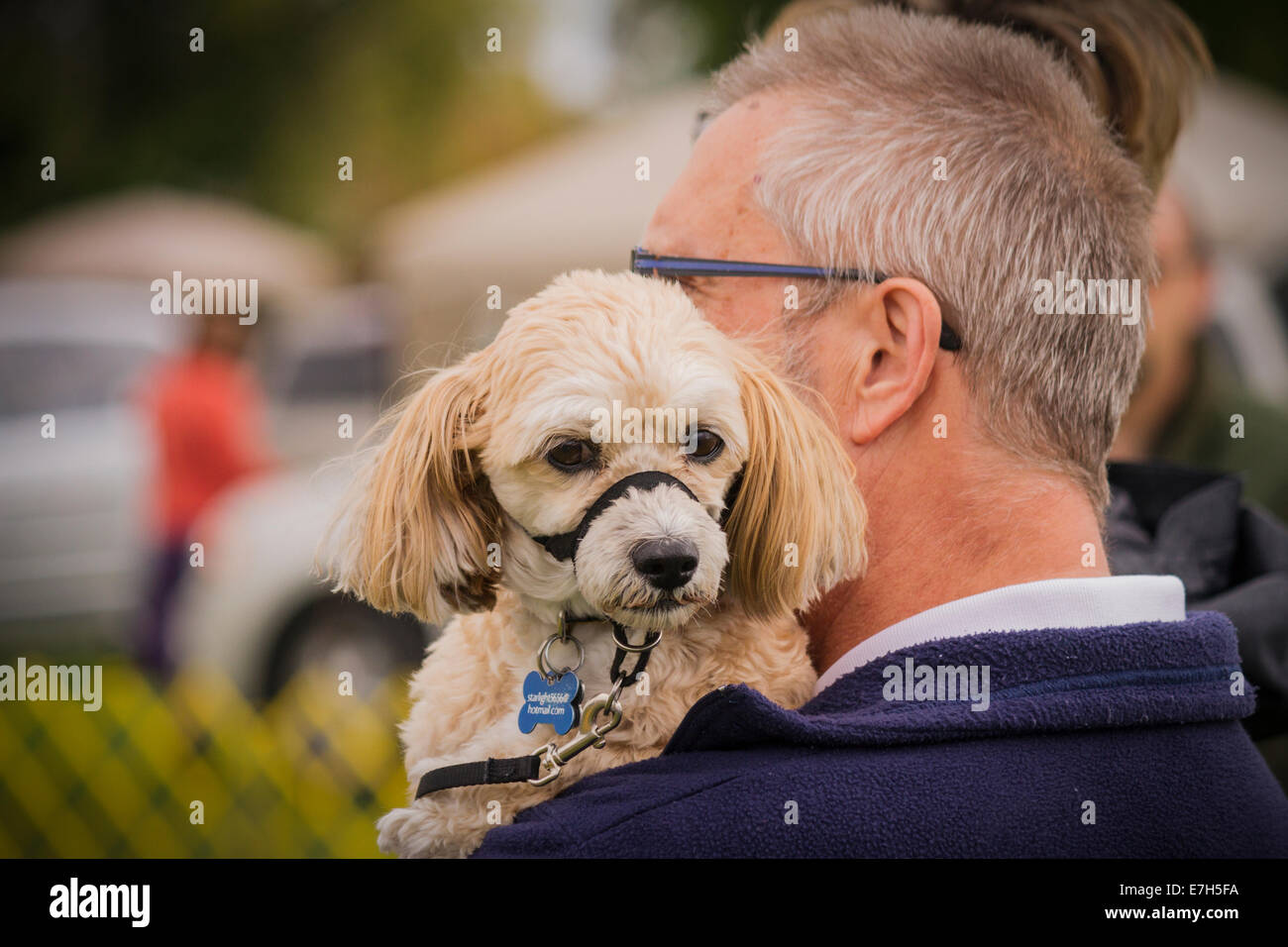 miniature-apricot-poodle-looking-over-ma
