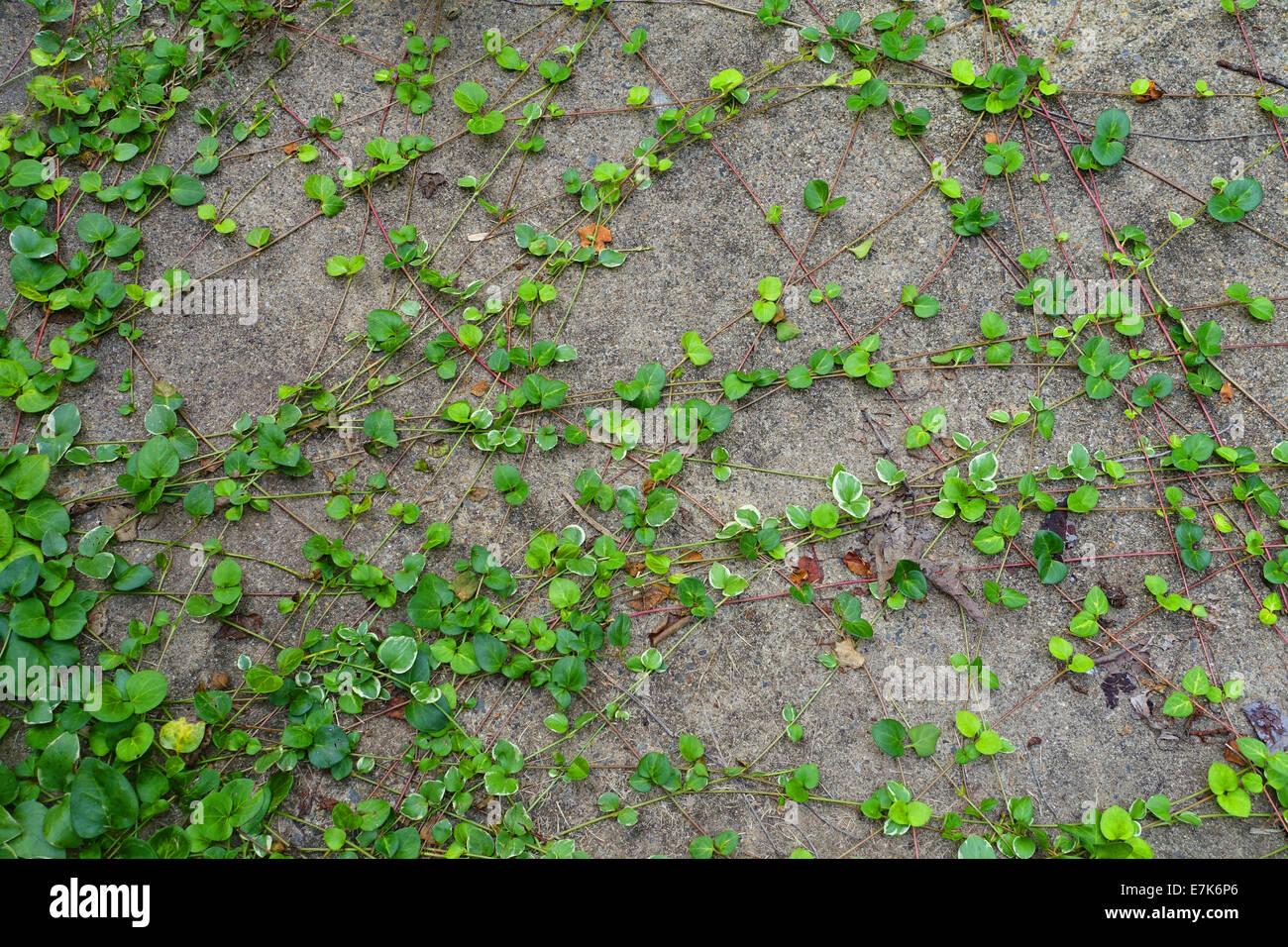 Invasive Vines Growing On Concrete Wall Stock Photo