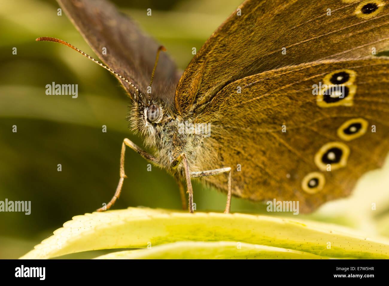 ringlet-butterfly-aphantopus-hyperantus-