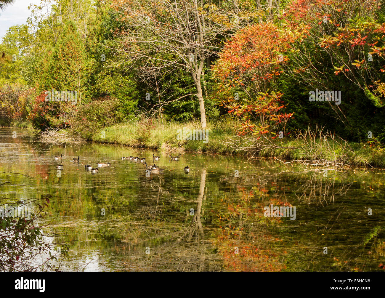 flock-of-canada-geese-resting-on-the-aus