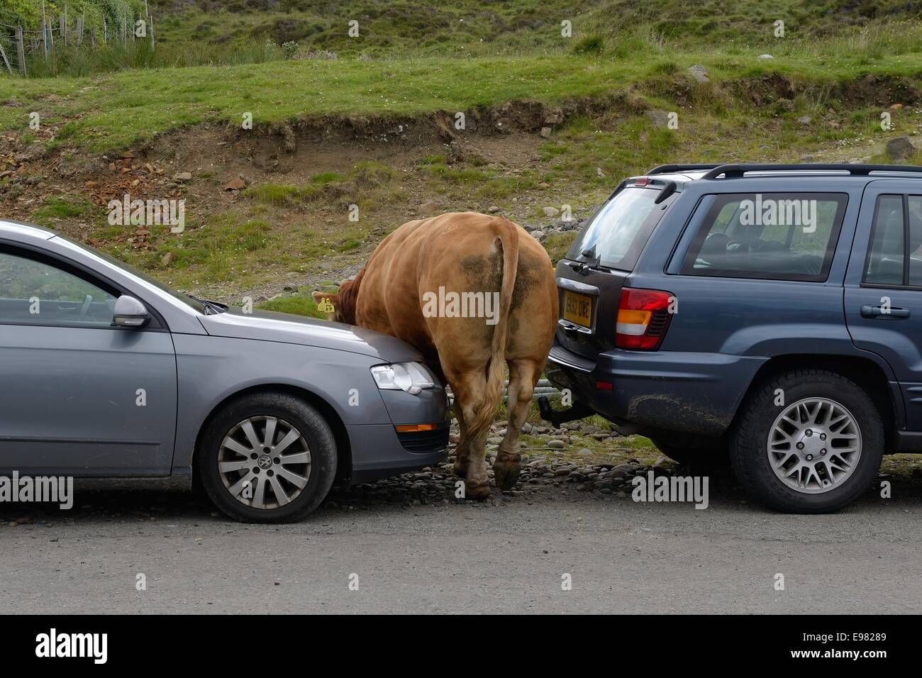 a-large-bull-squeezes-between-two-parked