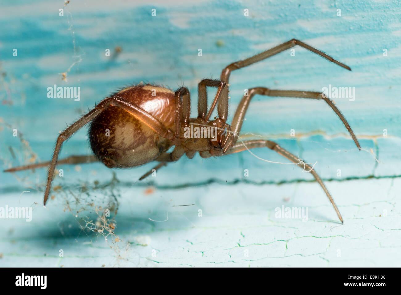 false-widow-spider-steatoda-nobilis-on-cracked-old-paintwork-E9KH38.jpg