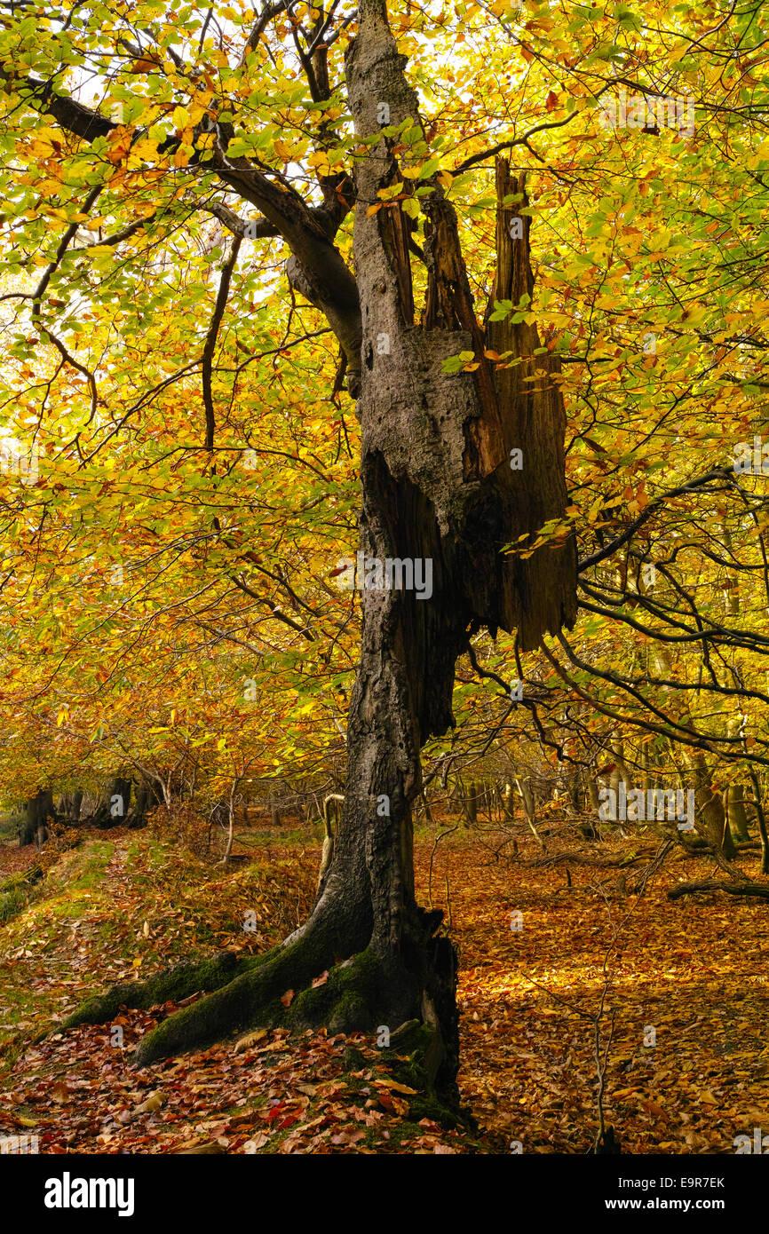 decaying-beech-tree-trunk-defying-gravit