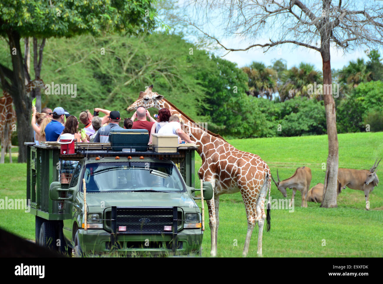 Visitors Feeding Giraffes From An Open Truck At Busch Gardens Tampa Stock Photo Royalty Free