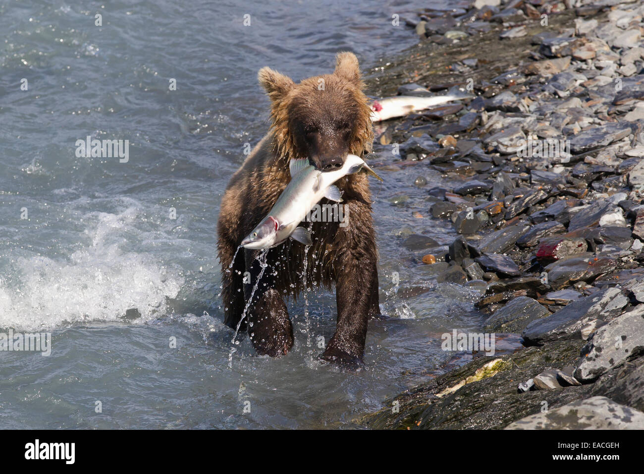 Brown bear cub ursus arctos fishing near the solomon for Fish farms near me