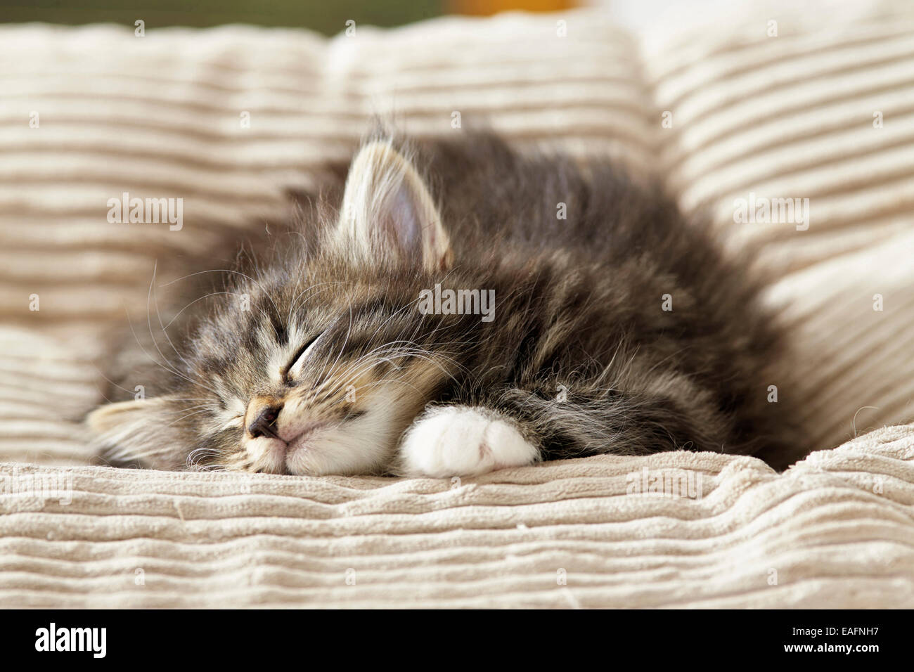 Norwegian Forest Cat Tabby Kitten Sleeping Blanket Germany