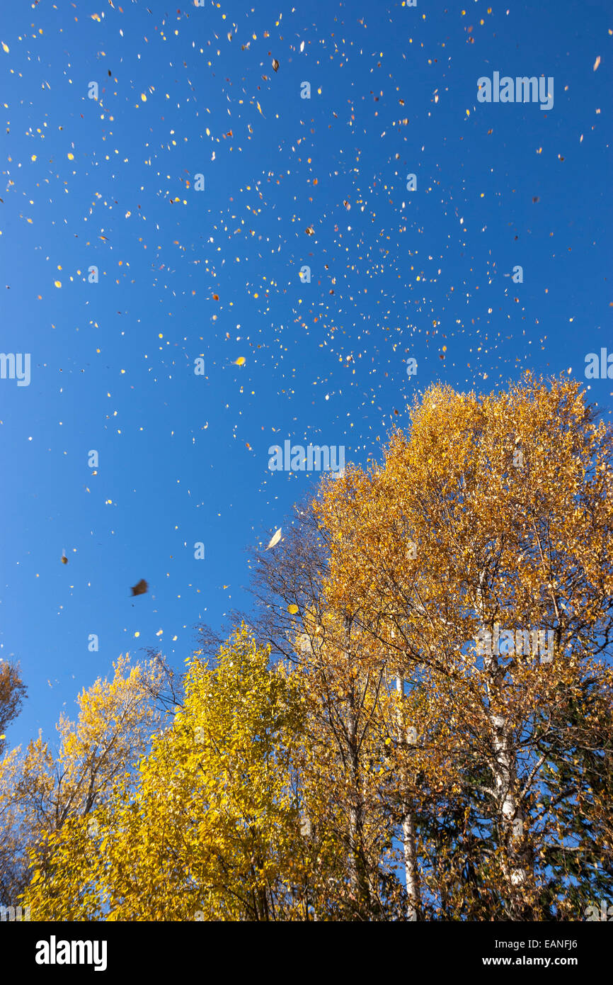 fall-rainy-of-leaves-from-silver-birch-f