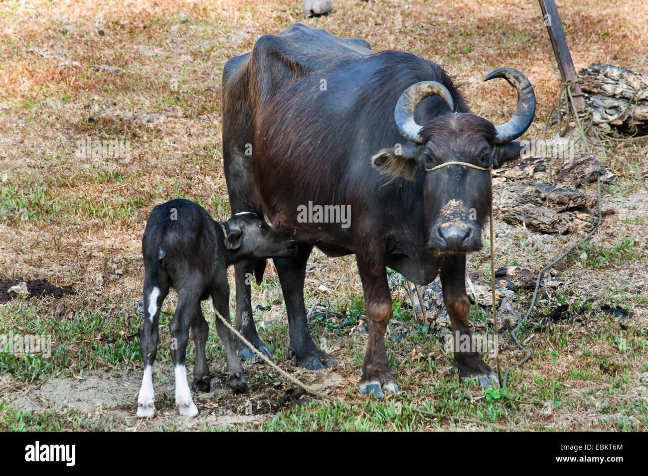Wild water buffalo size