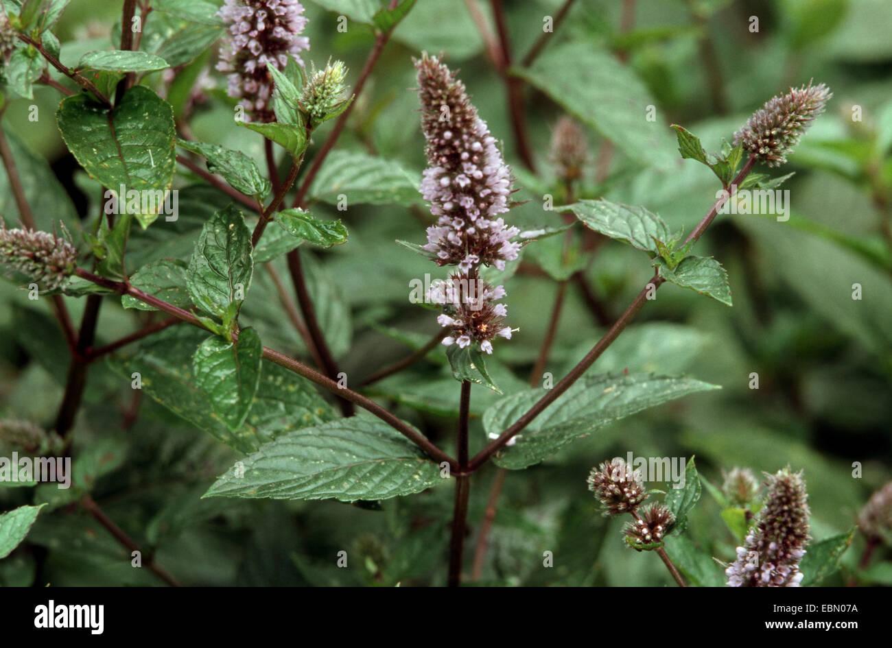 Peppermint Hybrid Peppermint Mentha X Piperita Mentha