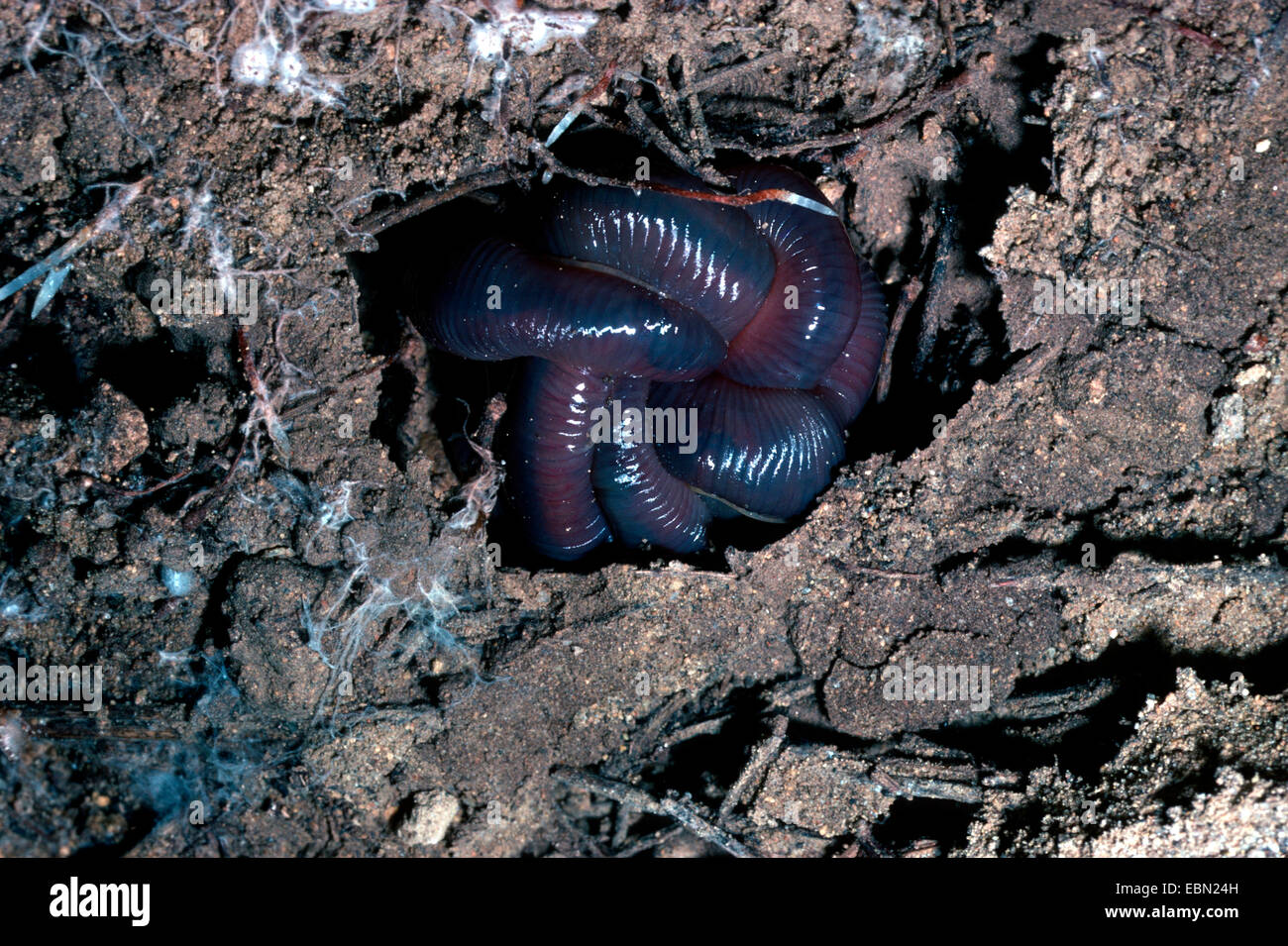 giant Gippsland earthworm, karmai (Megascolides australis ...