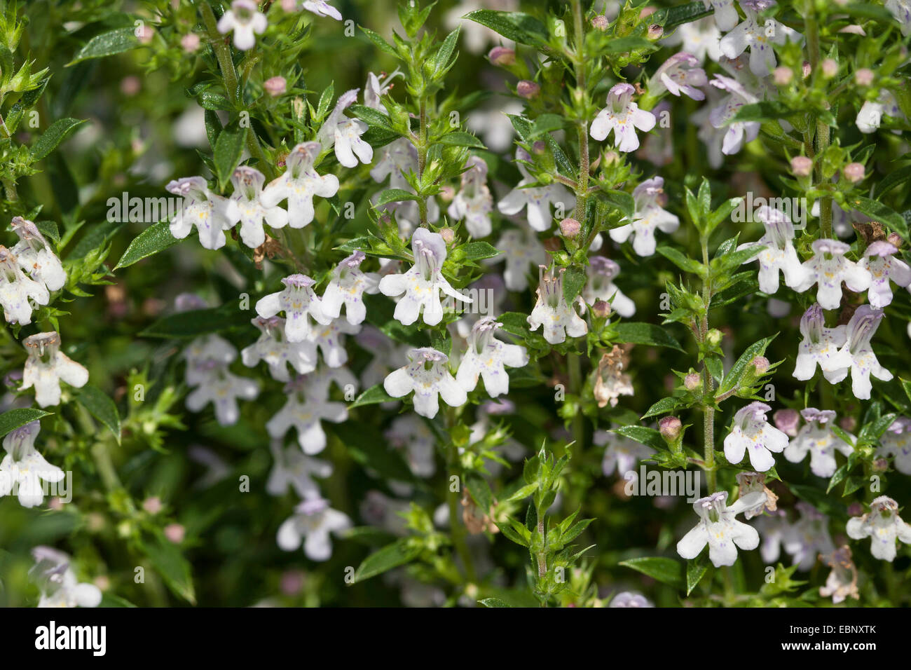 winter savory satureja montana blooming stock photo royalty free image 76084755 alamy. Black Bedroom Furniture Sets. Home Design Ideas