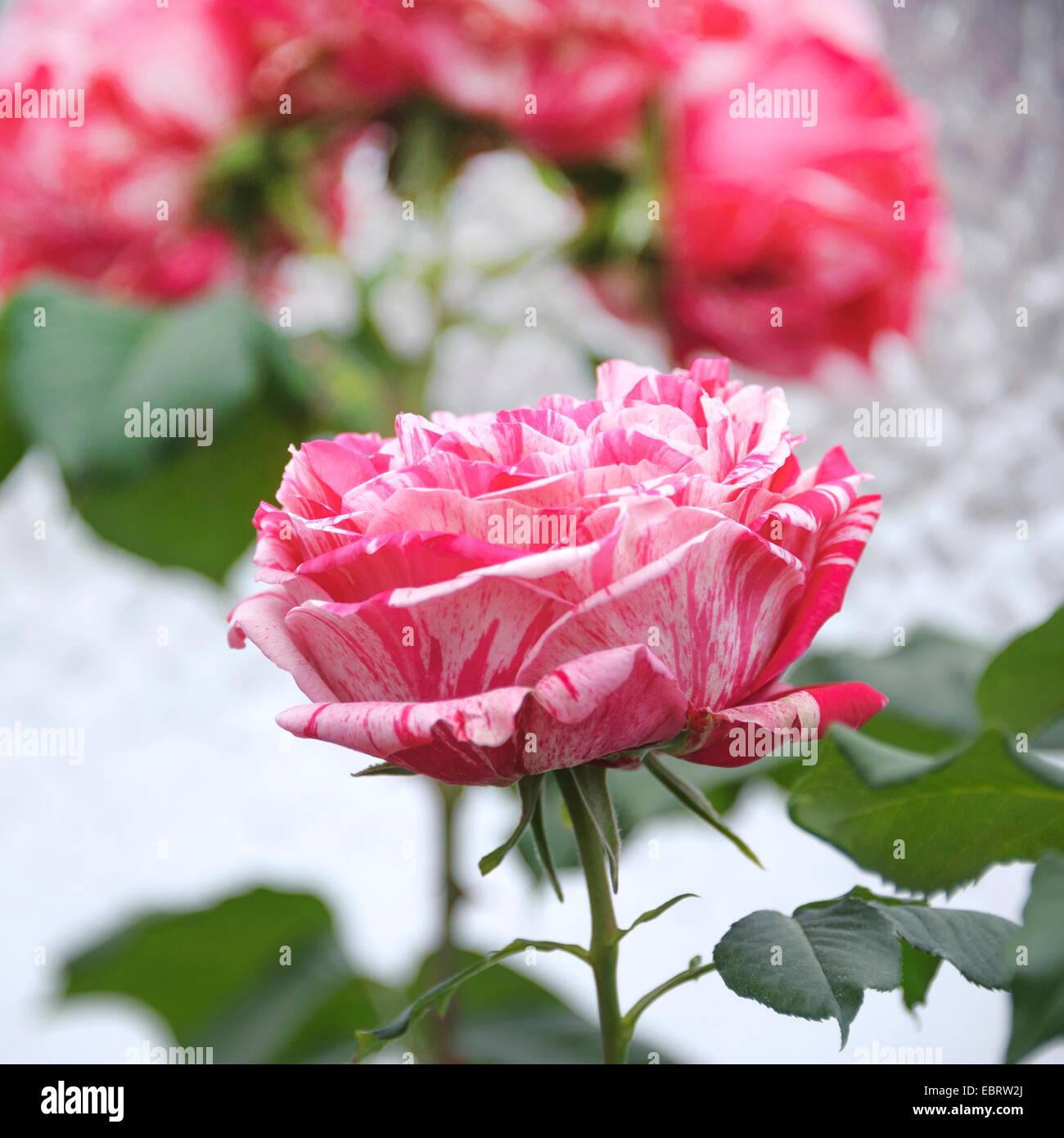 nostalgie rose rosa 39 best impression 39 cultivar best impression stock photo royalty free. Black Bedroom Furniture Sets. Home Design Ideas