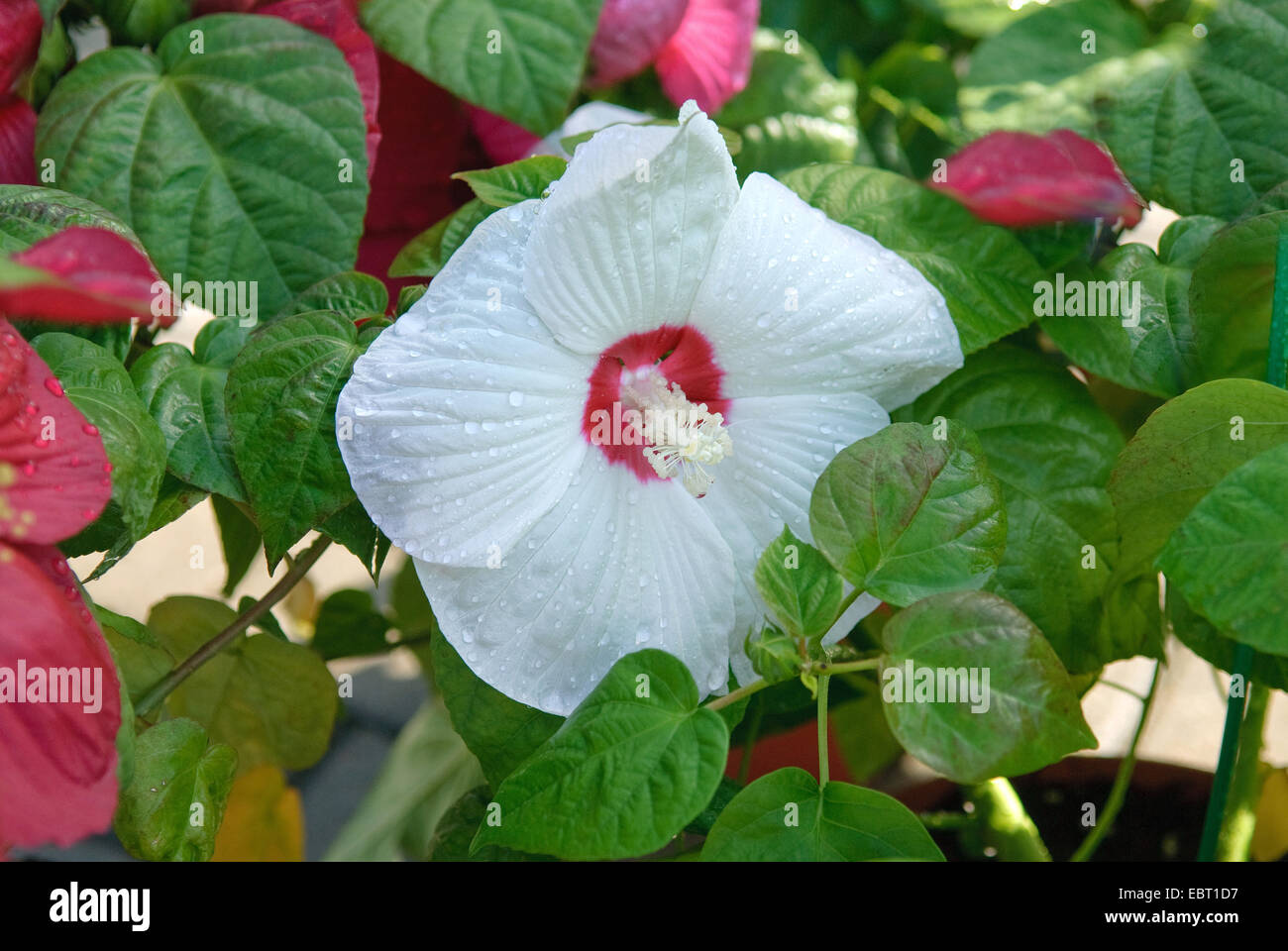 swamp rose mallow rose mallow hibiscus moscheutos 39 luna white 39 stock photo royalty free image. Black Bedroom Furniture Sets. Home Design Ideas