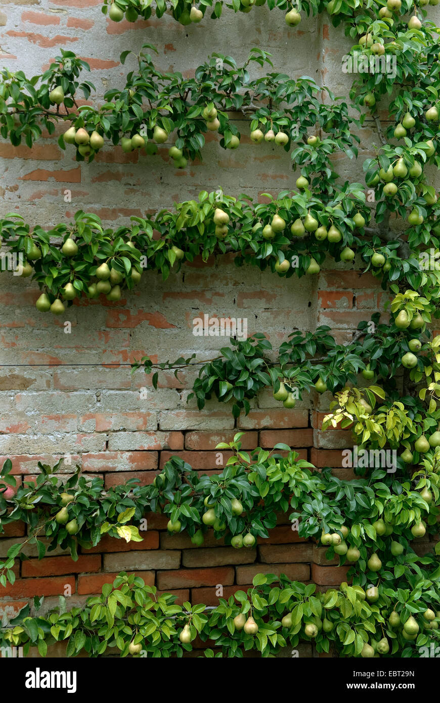 Common Pear (pyrus Communis), Espalier Peara At A Wall