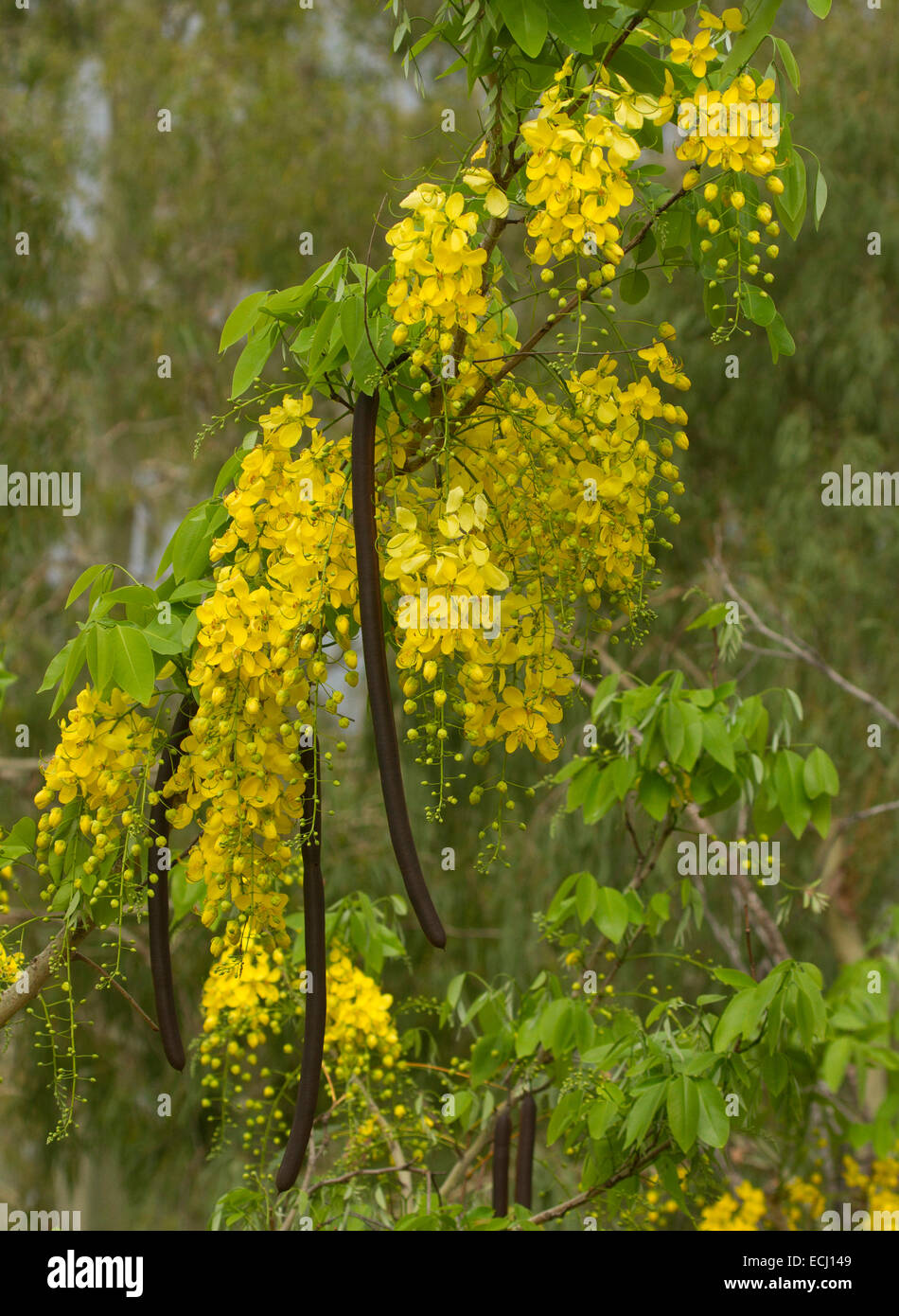 Long racemes of yellow flowers long seed pods green leaves of stock photo royalty free image - Trees that bloom yellow flowers ...