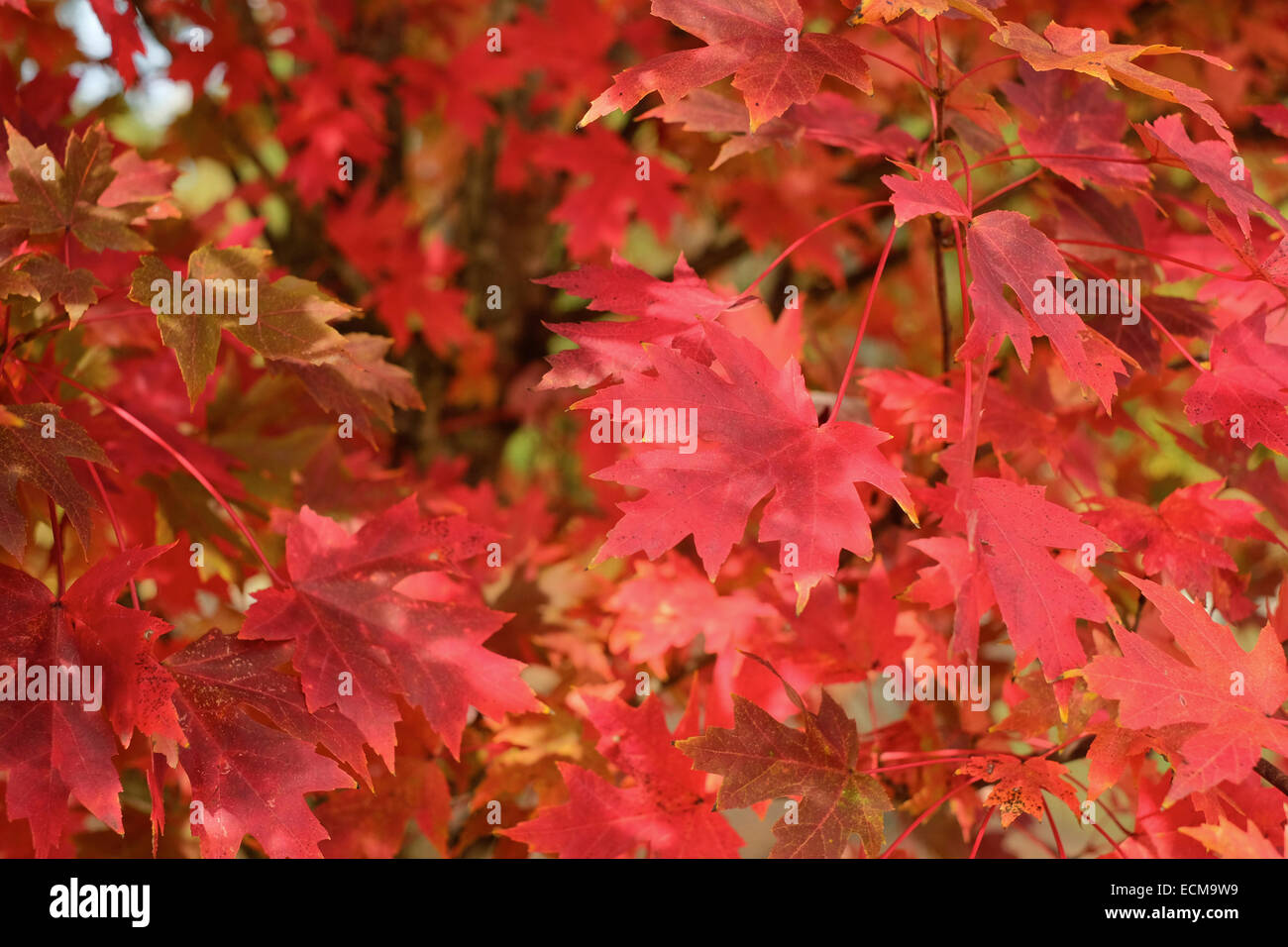 close-up-view-of-red-october-glory-acer-