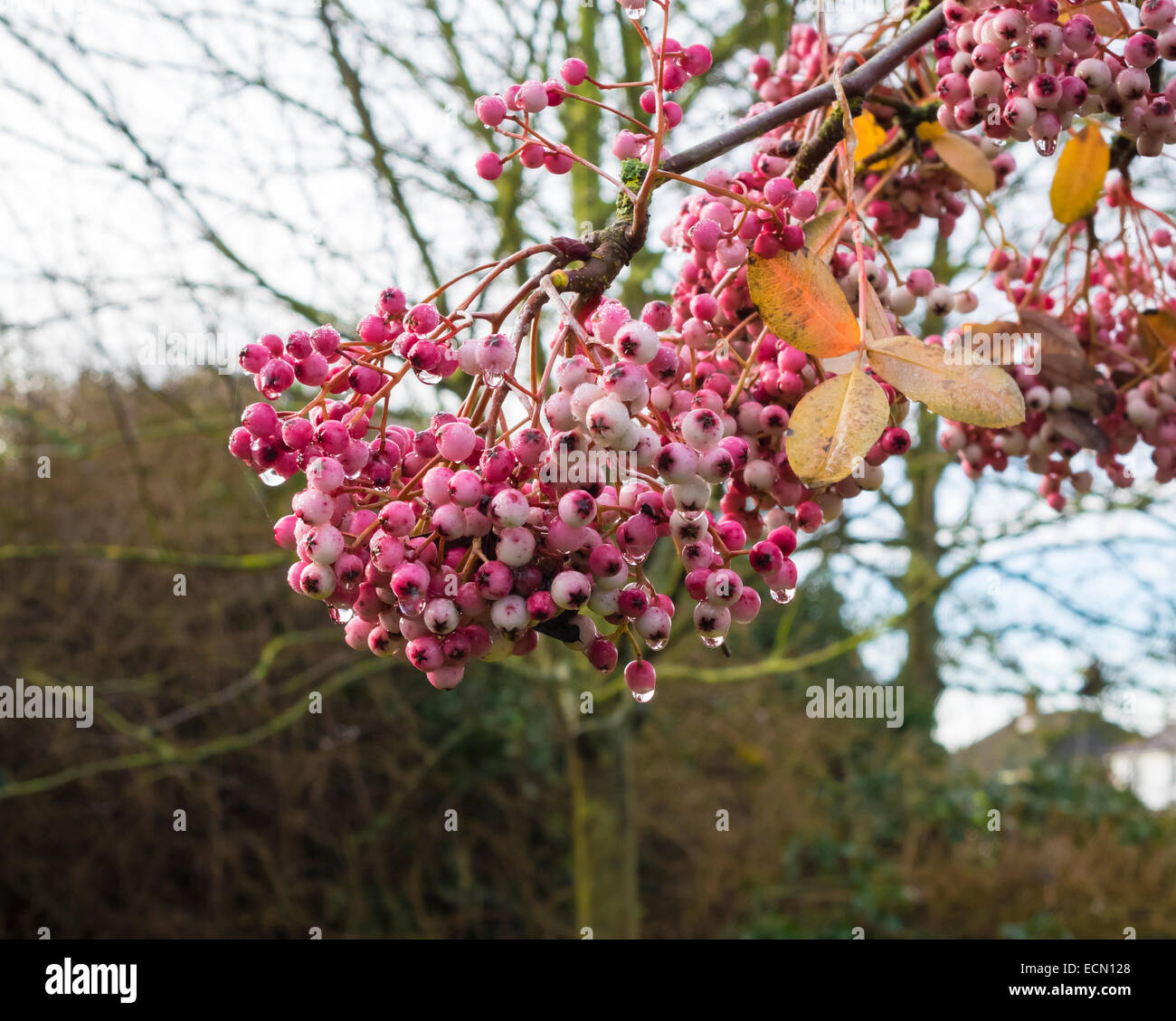 pink-berries-in-autumn-ECN128.jpg