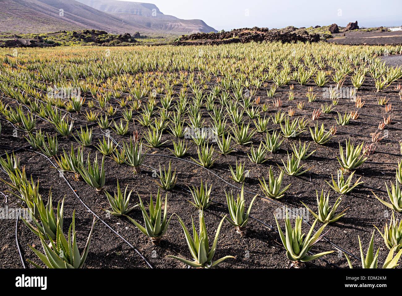 Aloe Vera Canary Islands