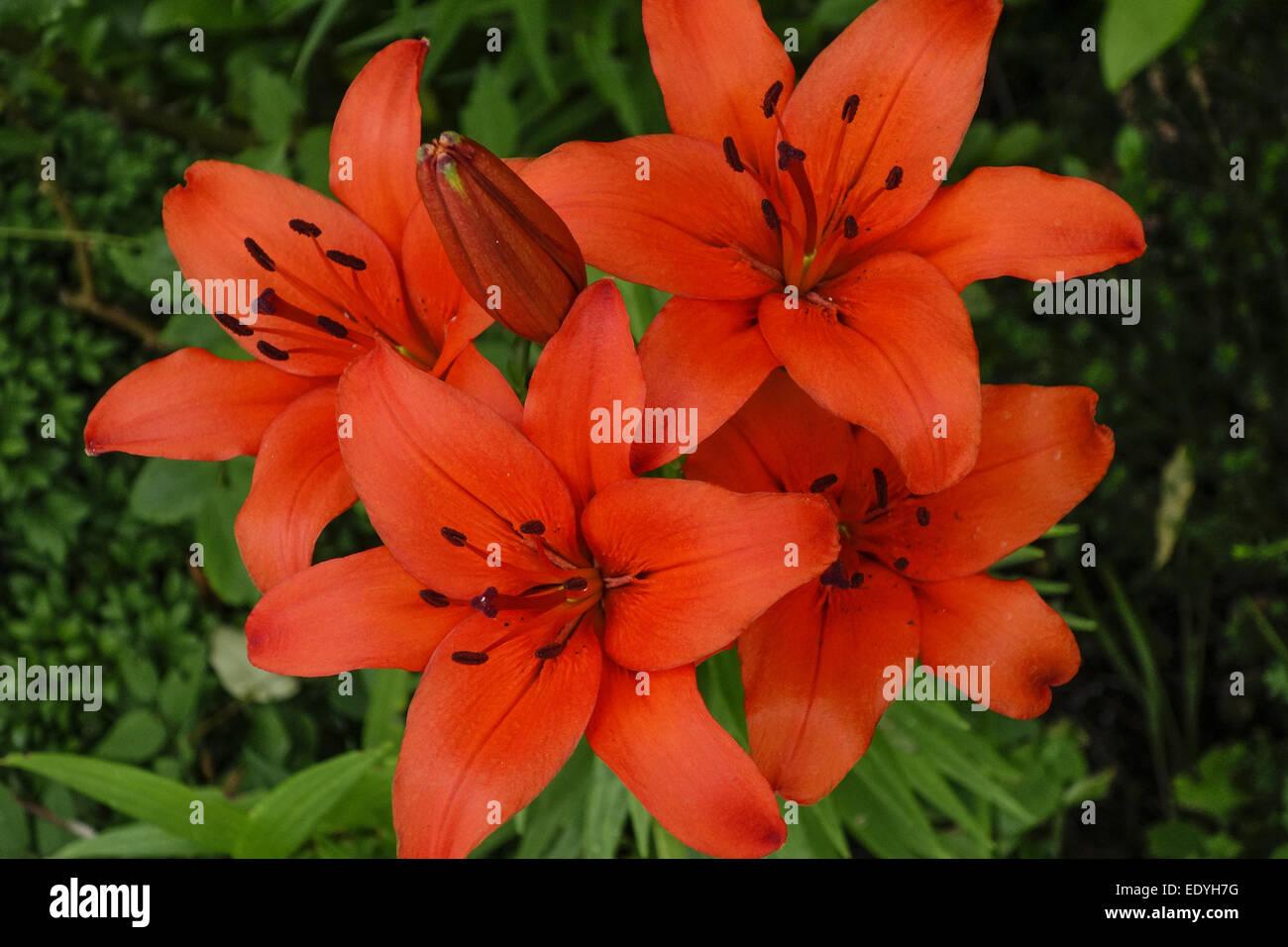 gartenblumen rote lilien garden flowers red lilies. Black Bedroom Furniture Sets. Home Design Ideas