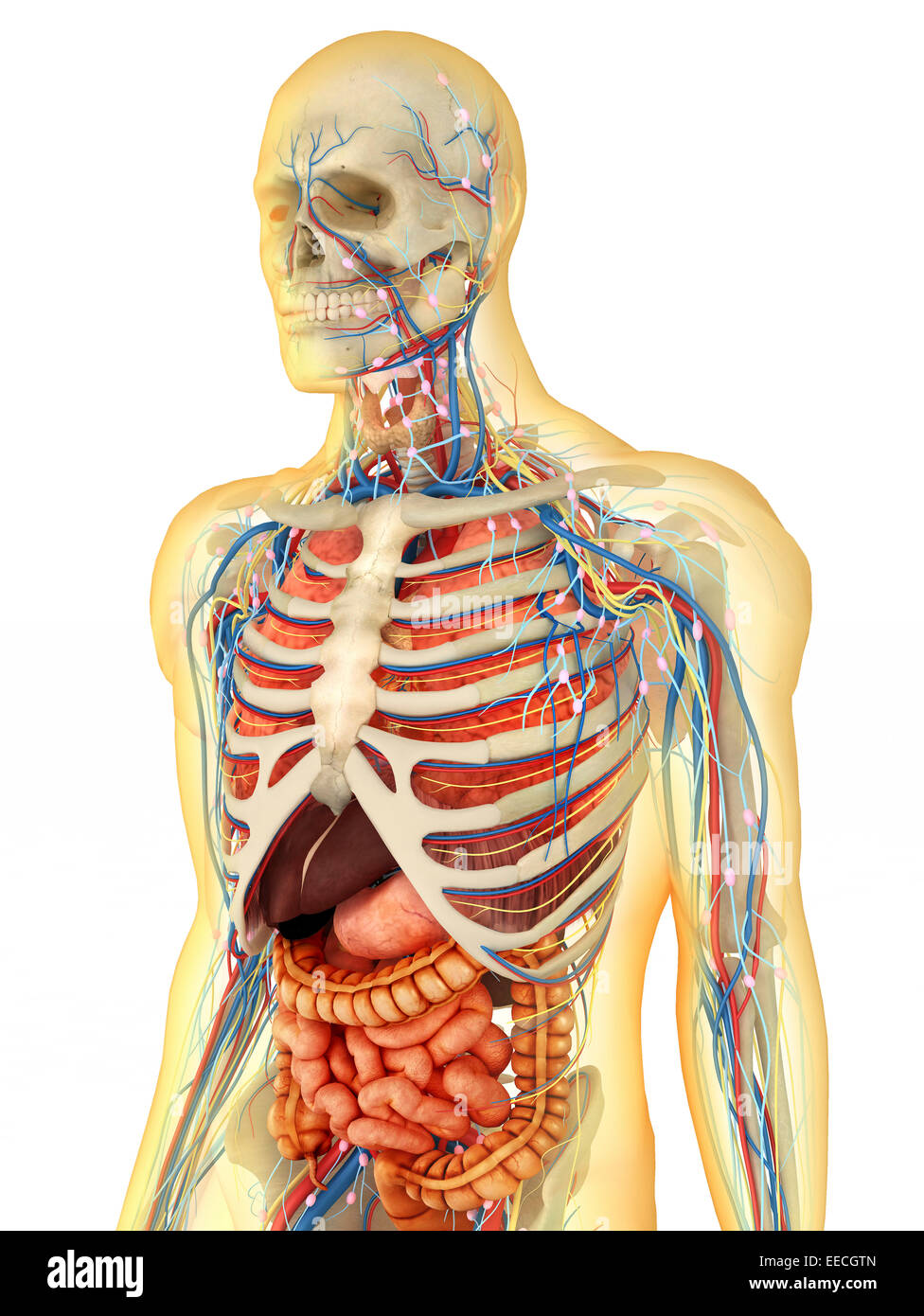 Generateexhibit additionally Pics Of Parts Of Body Name likewise Stock Photo Man Anatomy Full Respiratory Digestive Systems Cutaway Further Details Cutaways Made Different Organs Including Mouth Image30313680 together with Digital Illustration Human Face Cavity Larynx 246905776 also 7C 7C  5Emed College 5Ede 7Cde 7Cwiki 7Cbilder 7C9 12 5E. on stock illustration respiratory system human medical internal organs