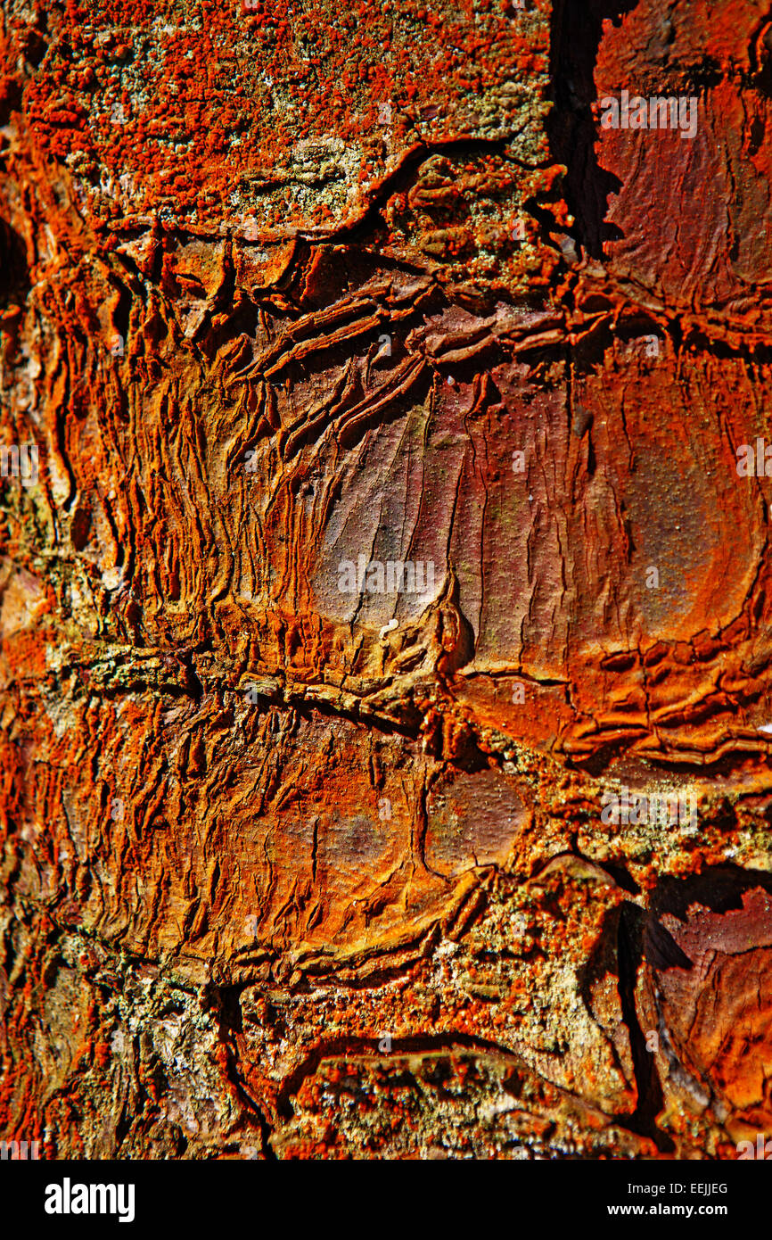 sitka-spruce-tree-bark-close-up-the-colo