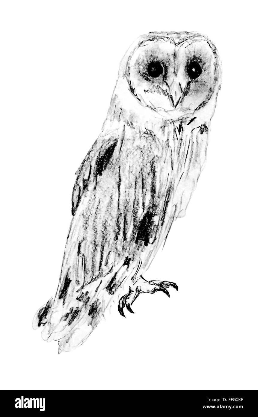 Drawing of sitting barn owl tyto alba stock photo for Owl beak drawing