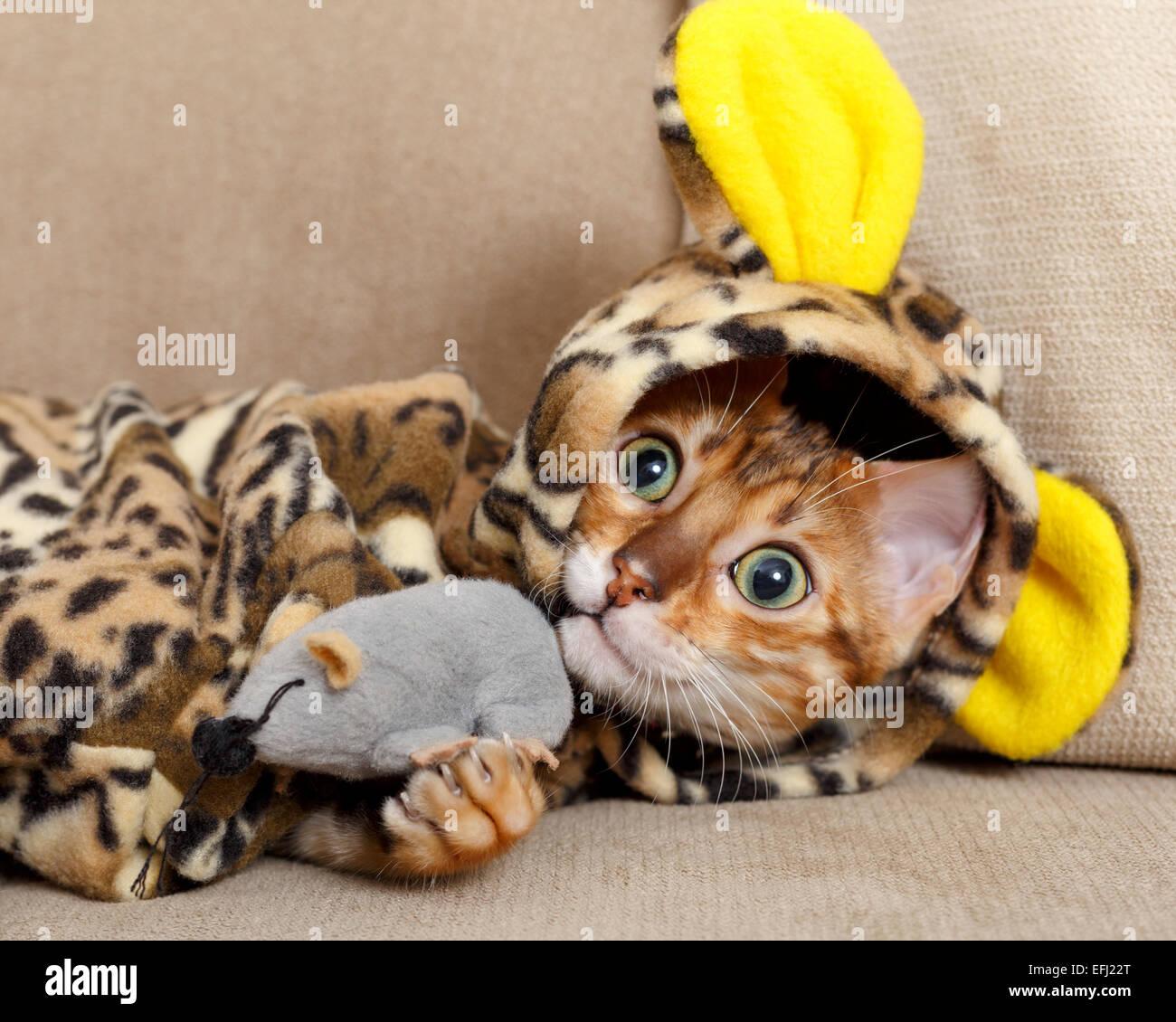 female-bengal-cat-kitten-on-sofa-in-leop