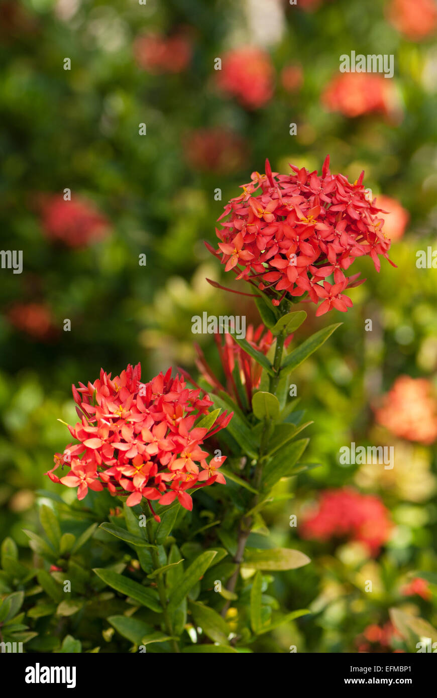 Buy Ixora In Orlando Florida Lake Mary Kissimmee Sanford: The Jungle Flame, Ixora Coccinea, Also Known As The 'Flame