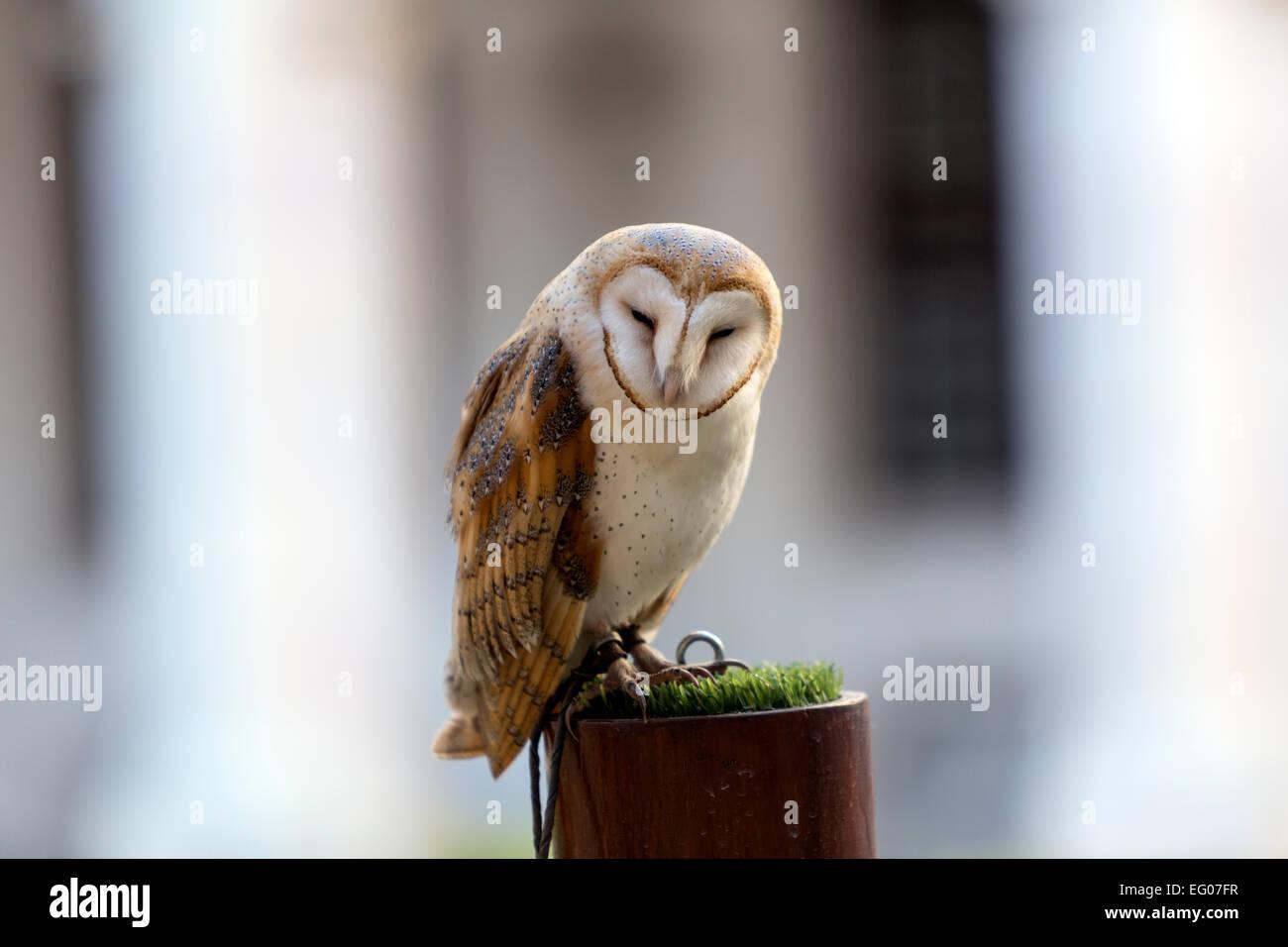 barn-owl-falconry-in-mafra-national-pala