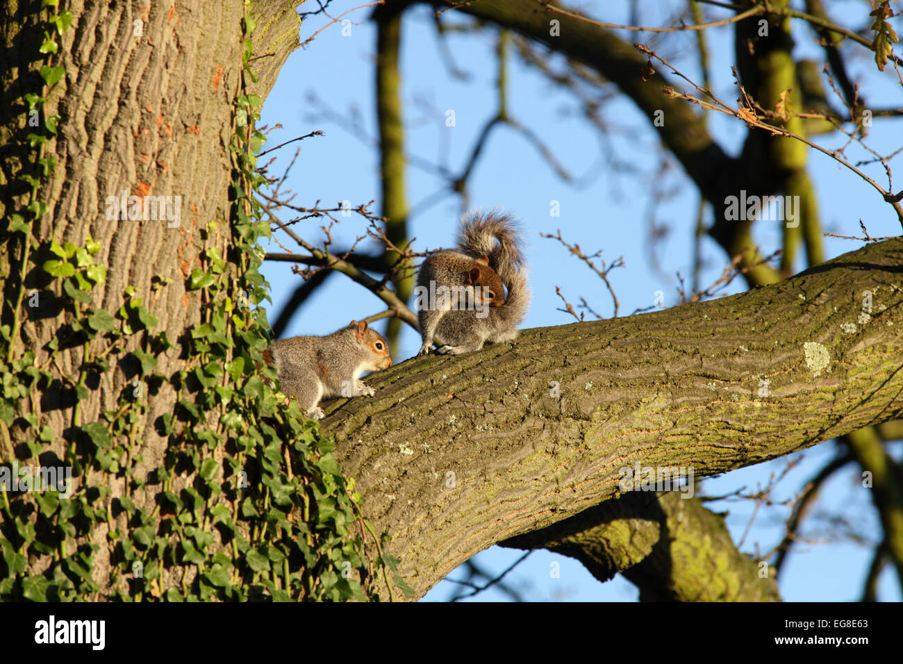 grey-squirrels-on-branch-of-oak-tree-war