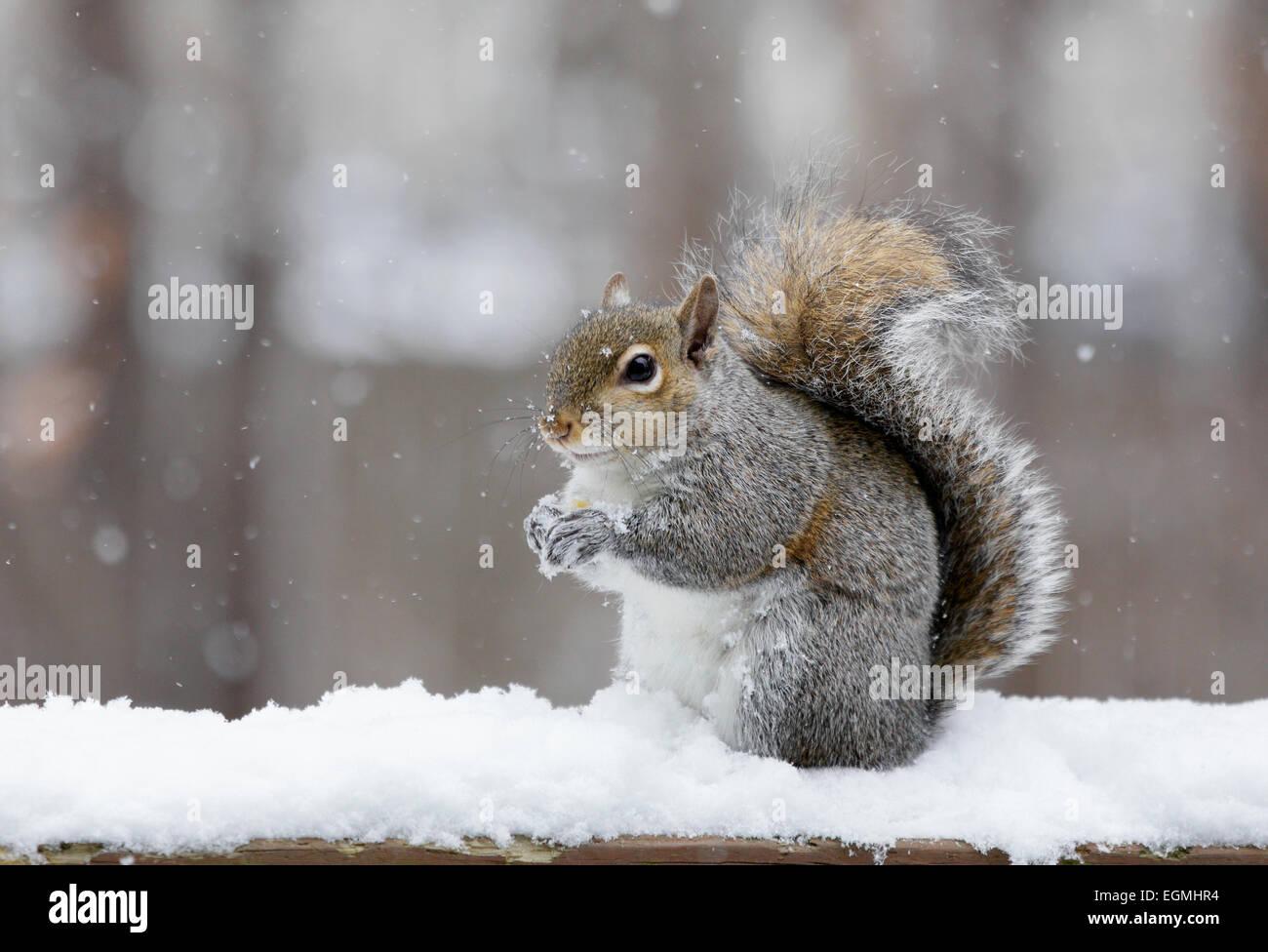 eastern-grey-sqiurrel-sciurus-carolinensis-in-the-snow-EGMHR4.jpg