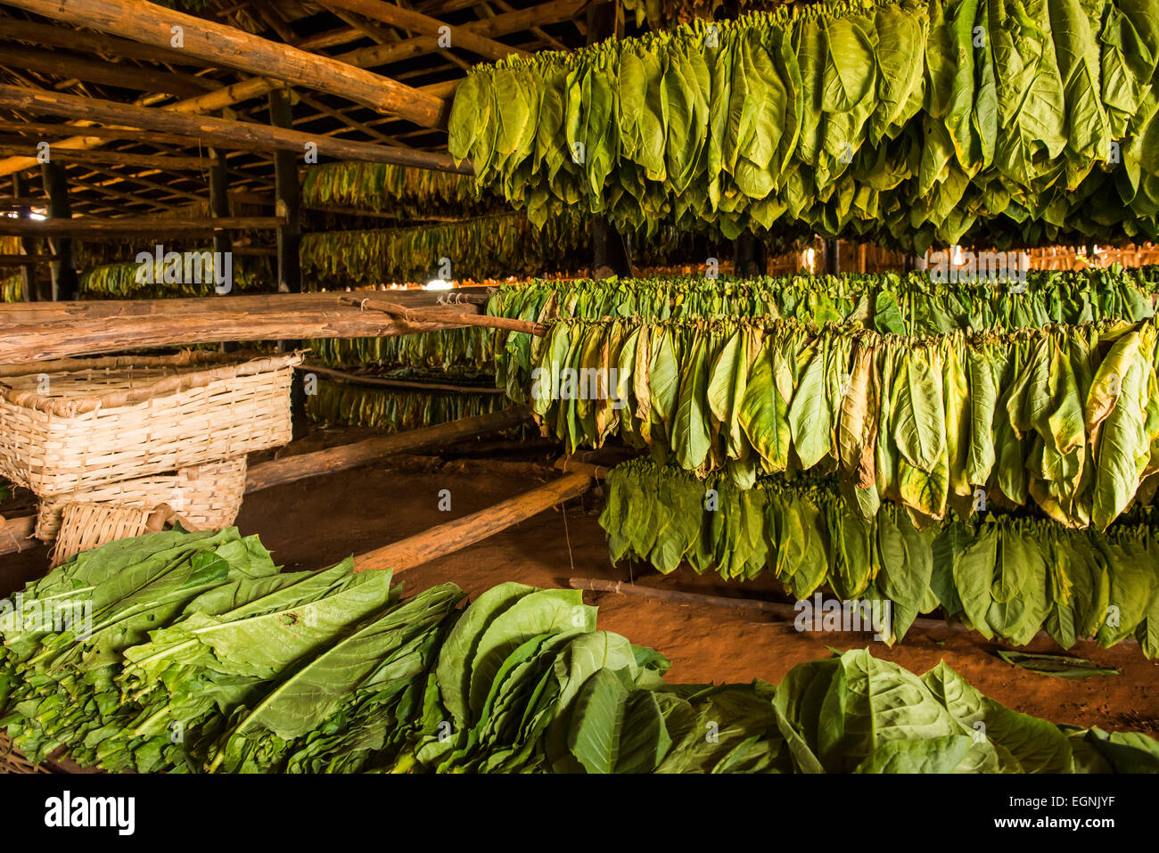 Tobacco Hanging In Tobacco Barn In Vinales Cuba Stock