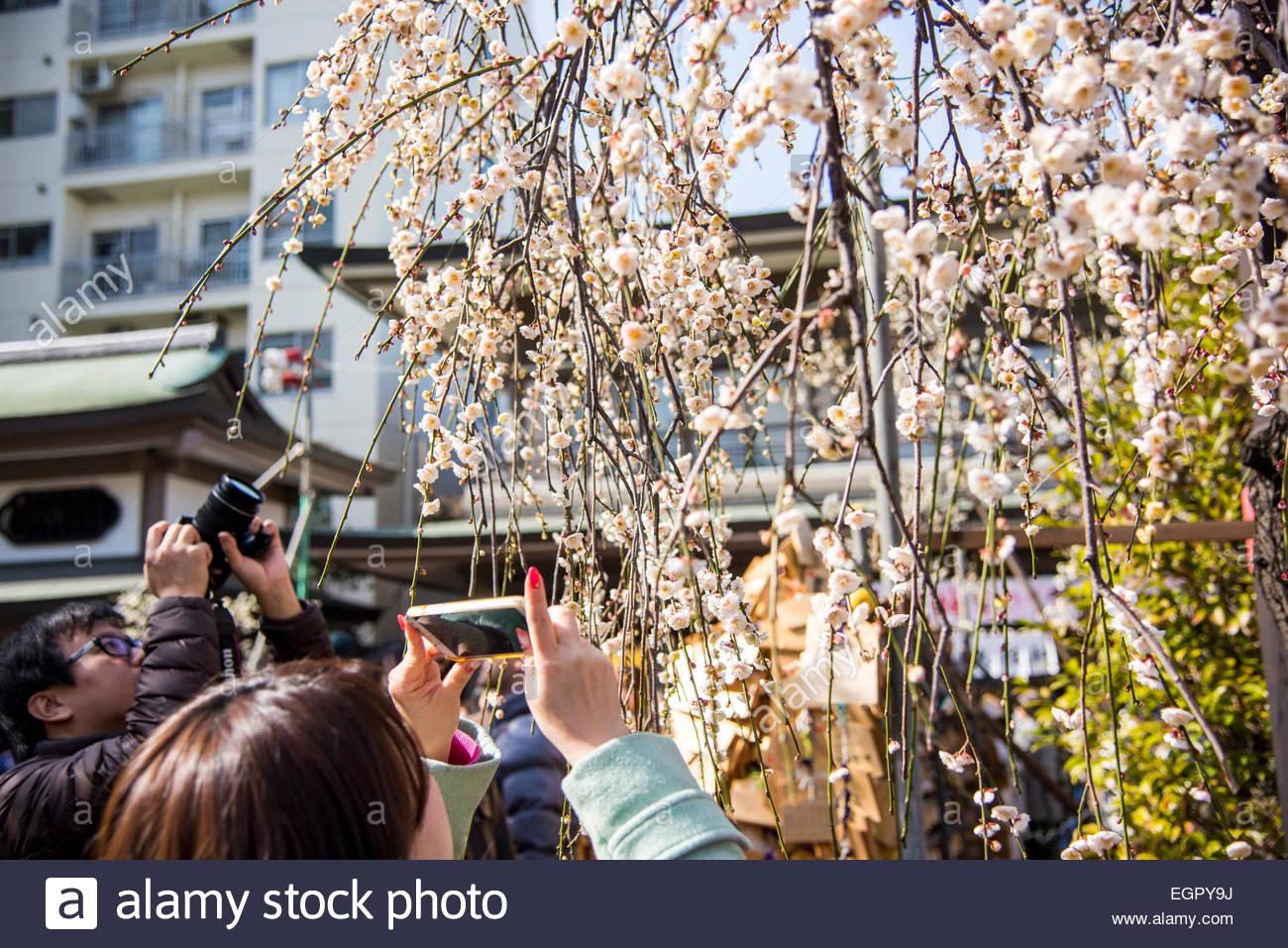 Ume festival,Yushima Tenmangu,Bunkyo-Ku,Tokyo,Japan Stock Photo, Royalty Free...