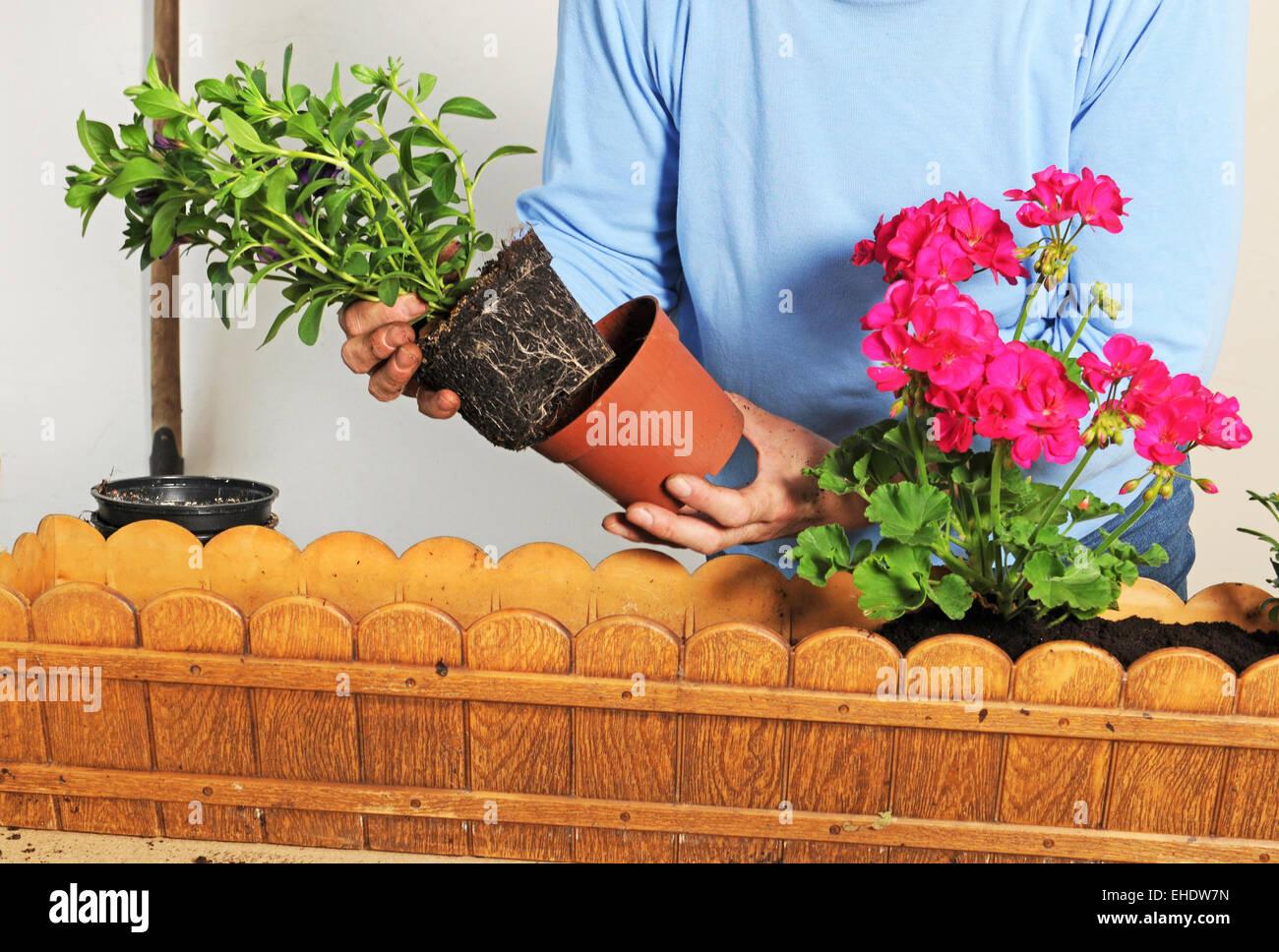 Как пересаживать цветы комнатные правильно 84