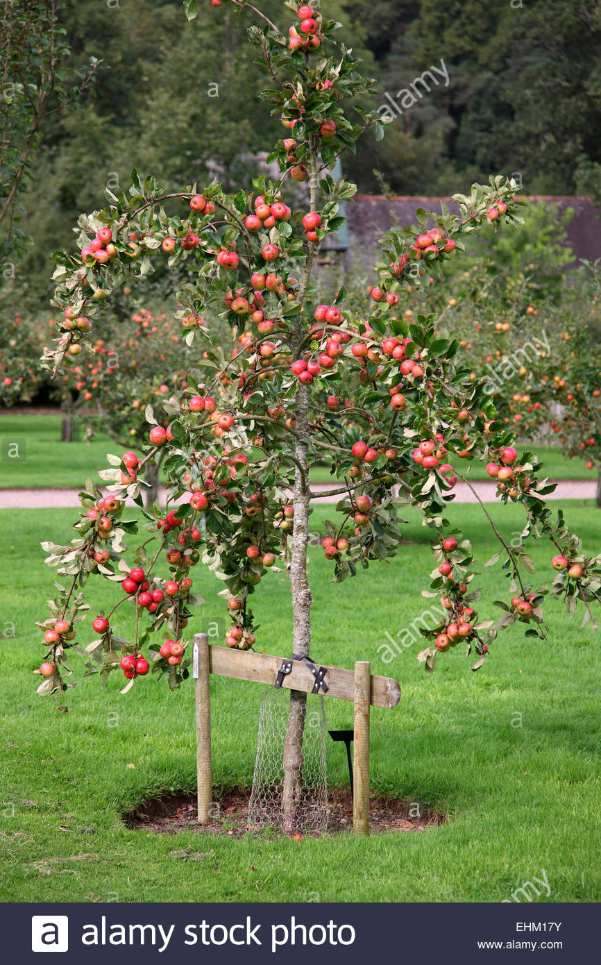 An orchard of apple trees during September at RHS Rosemoor ...