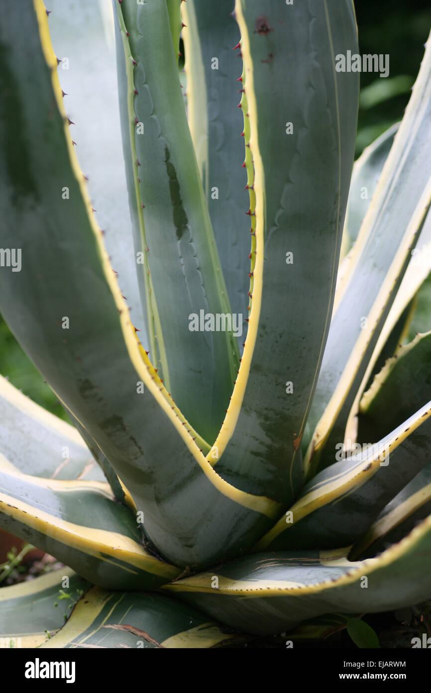 Agave Stock Photo, Royalty Free Image 80143552 Alamy ~ 01163053_Unterschied Sukkulente Xerophyten