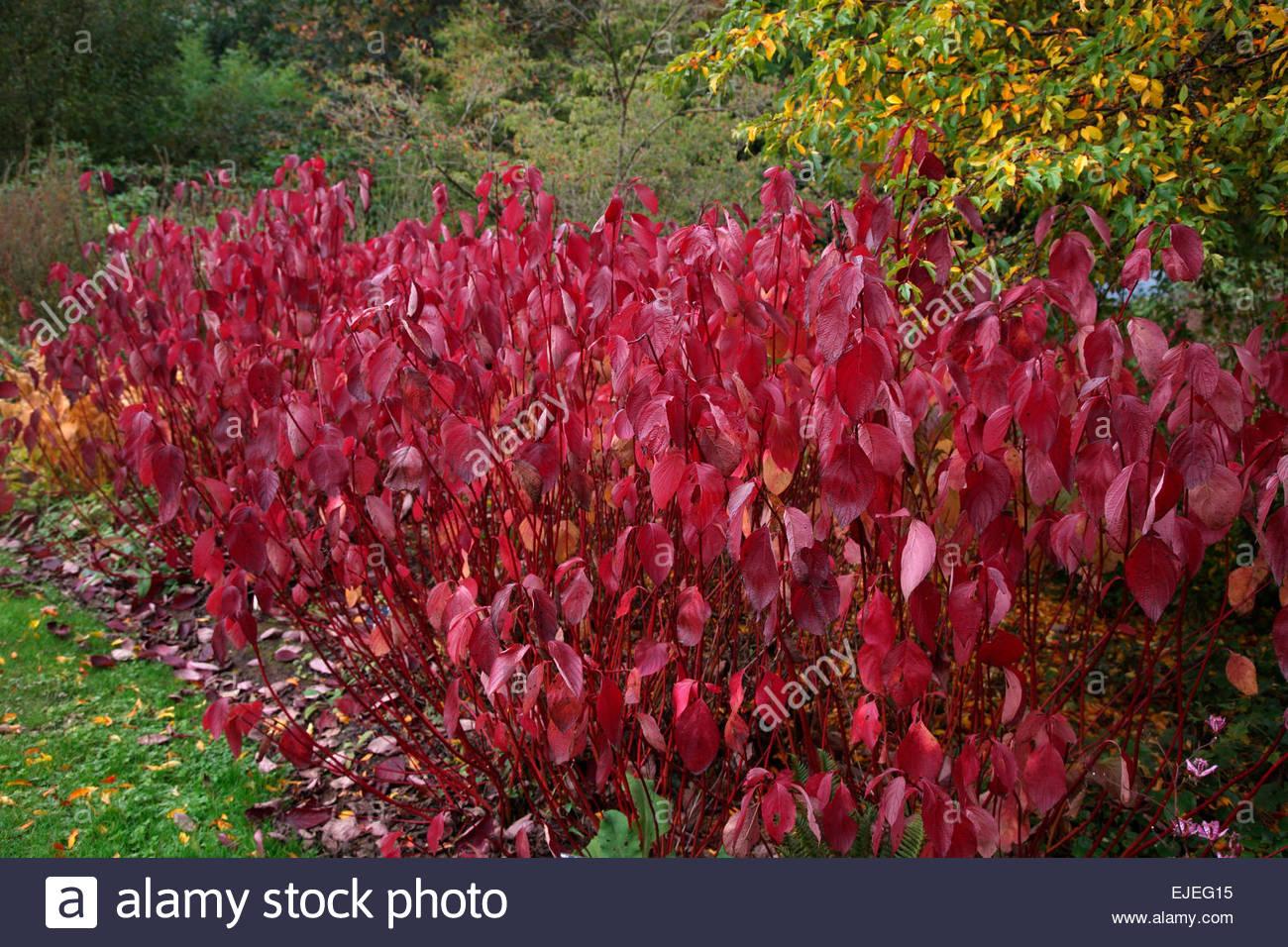 red and yellow autumn foliage colour of cornus alba. Black Bedroom Furniture Sets. Home Design Ideas