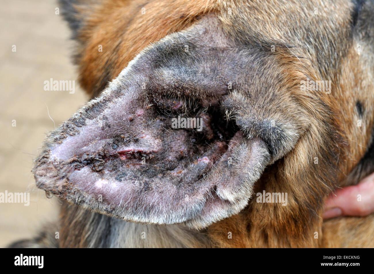 Floppy Ear Dog Hematoma