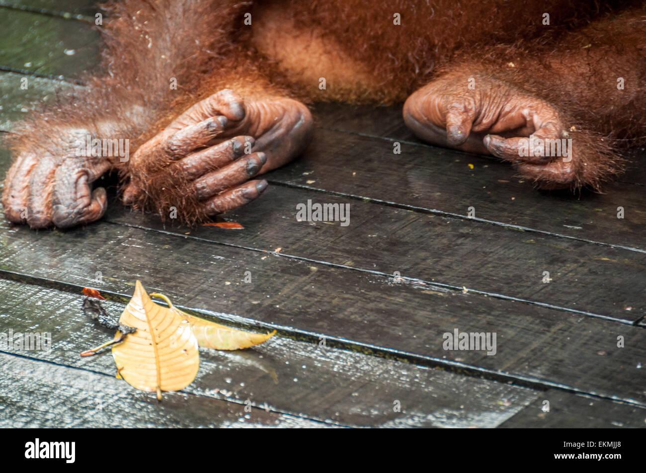 sepilok-orangutan-sanctuary-sabah-borneo-malaysia-EKMJJ8.jpg