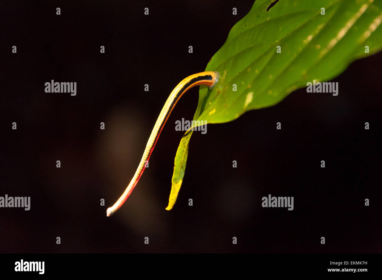 tiger-leech-attached-to-a-leaf-in-rainforest-jungle-borneo-malaysia-EKMK7H.jpg