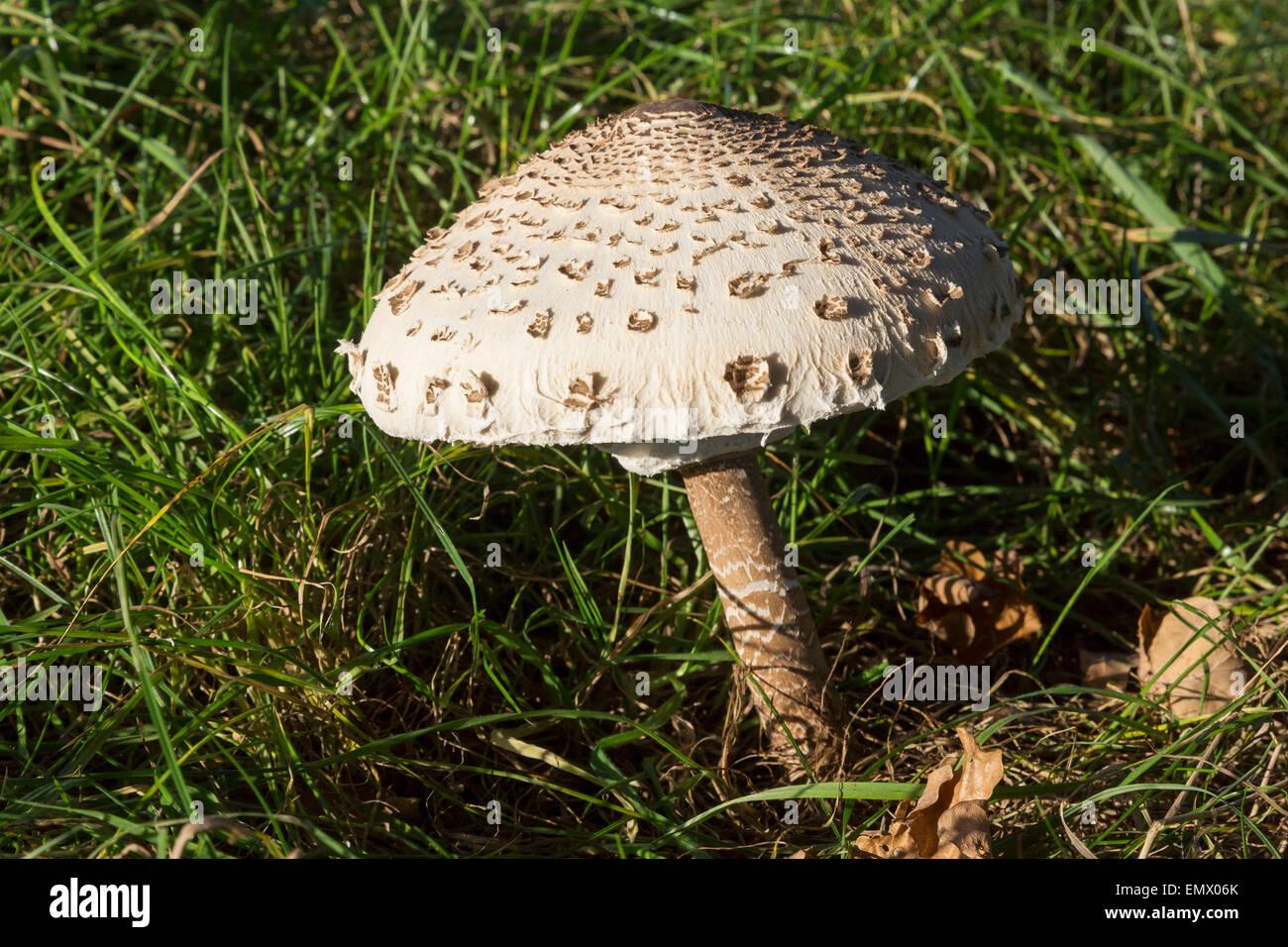 Parasol Mushroom – Terra Carpatica |Parasol Mushroom