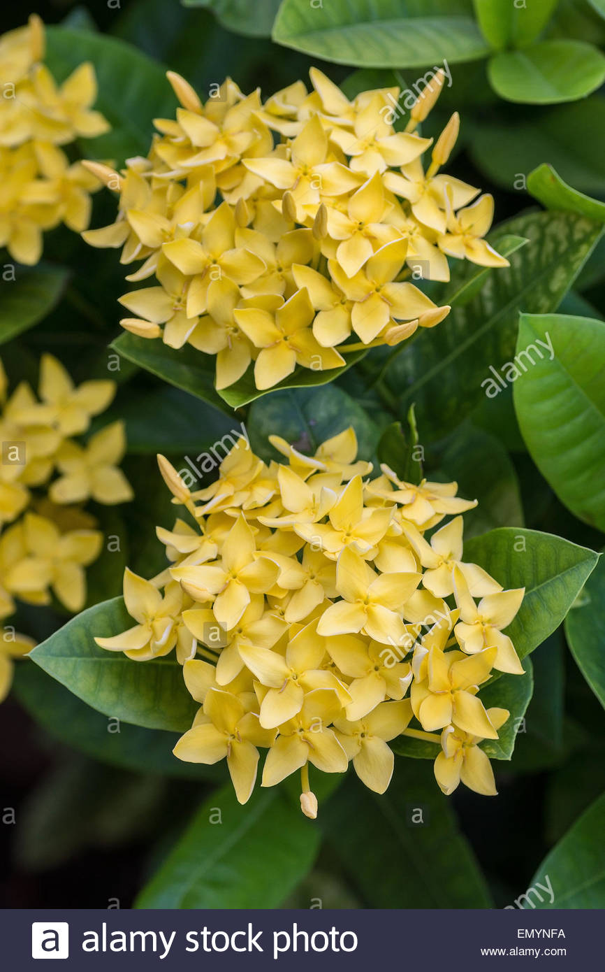 Buy Ixora In Orlando Florida Lake Mary Kissimmee Sanford: Yellow Ixora Known As Jungle Geranium, Flame Of The Woods